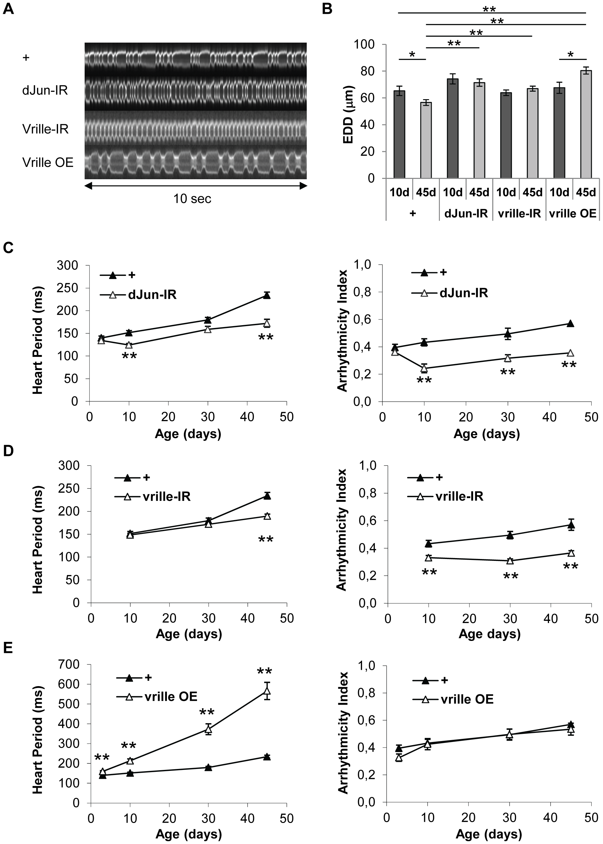 Heart-specific inactivation of dJun and Vrille transcription factors improve heart performance.