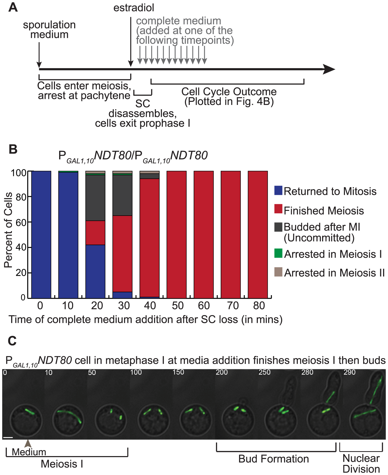 Altering <i>NDT80</i> expression results in inappropriately uncommitted cells.