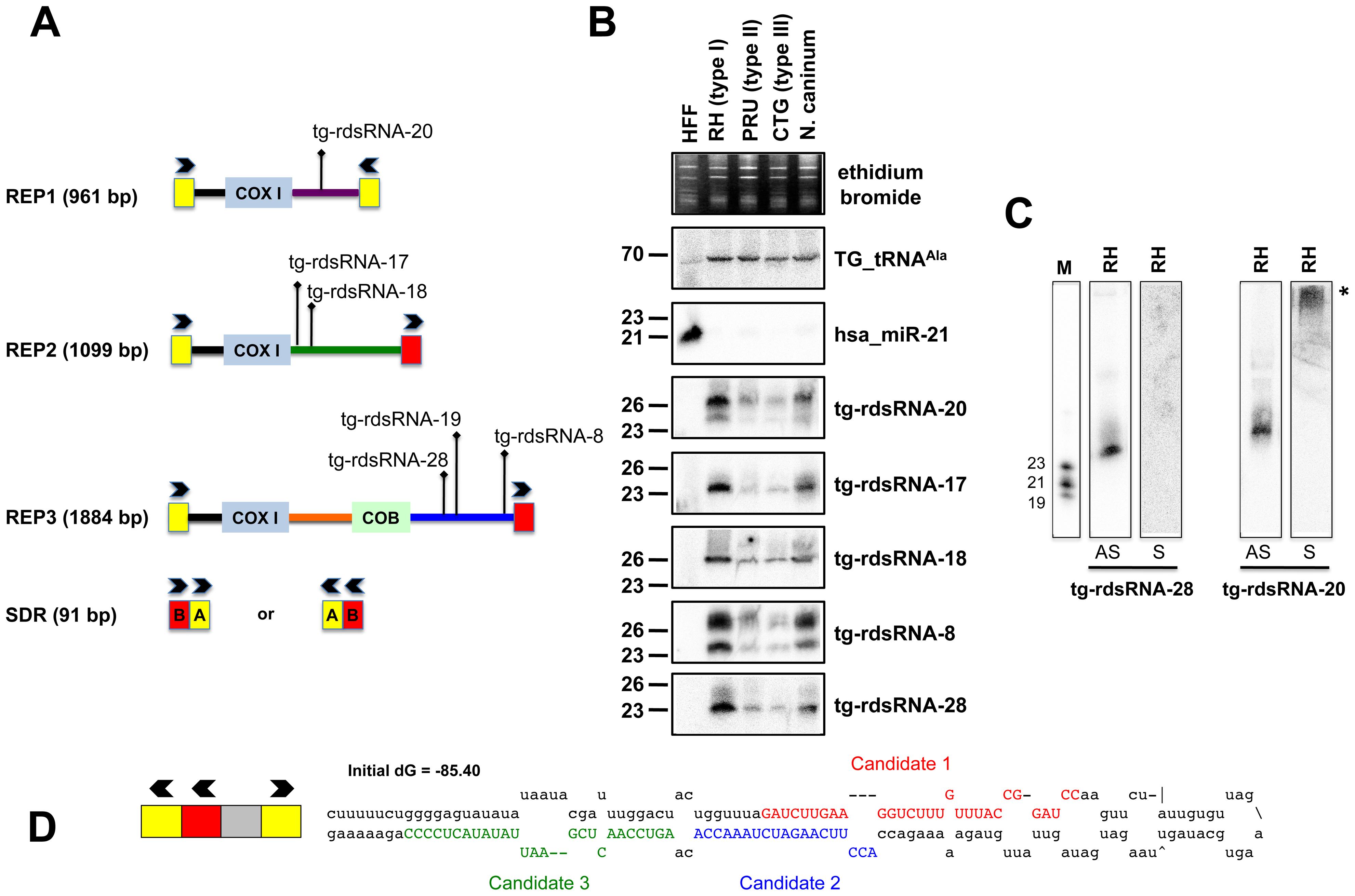 Expression patterns and characteristics of repeat-associated <i>Tg</i>-rdsRNA in <i>Toxoplasma</i>.