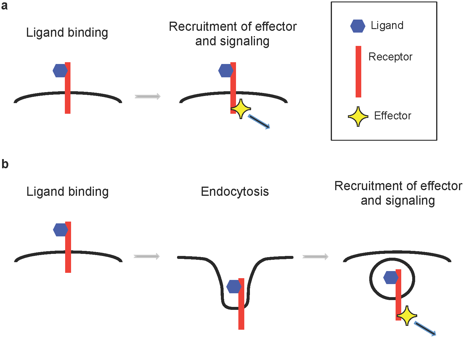 Two models for activation of axon guidance signaling.