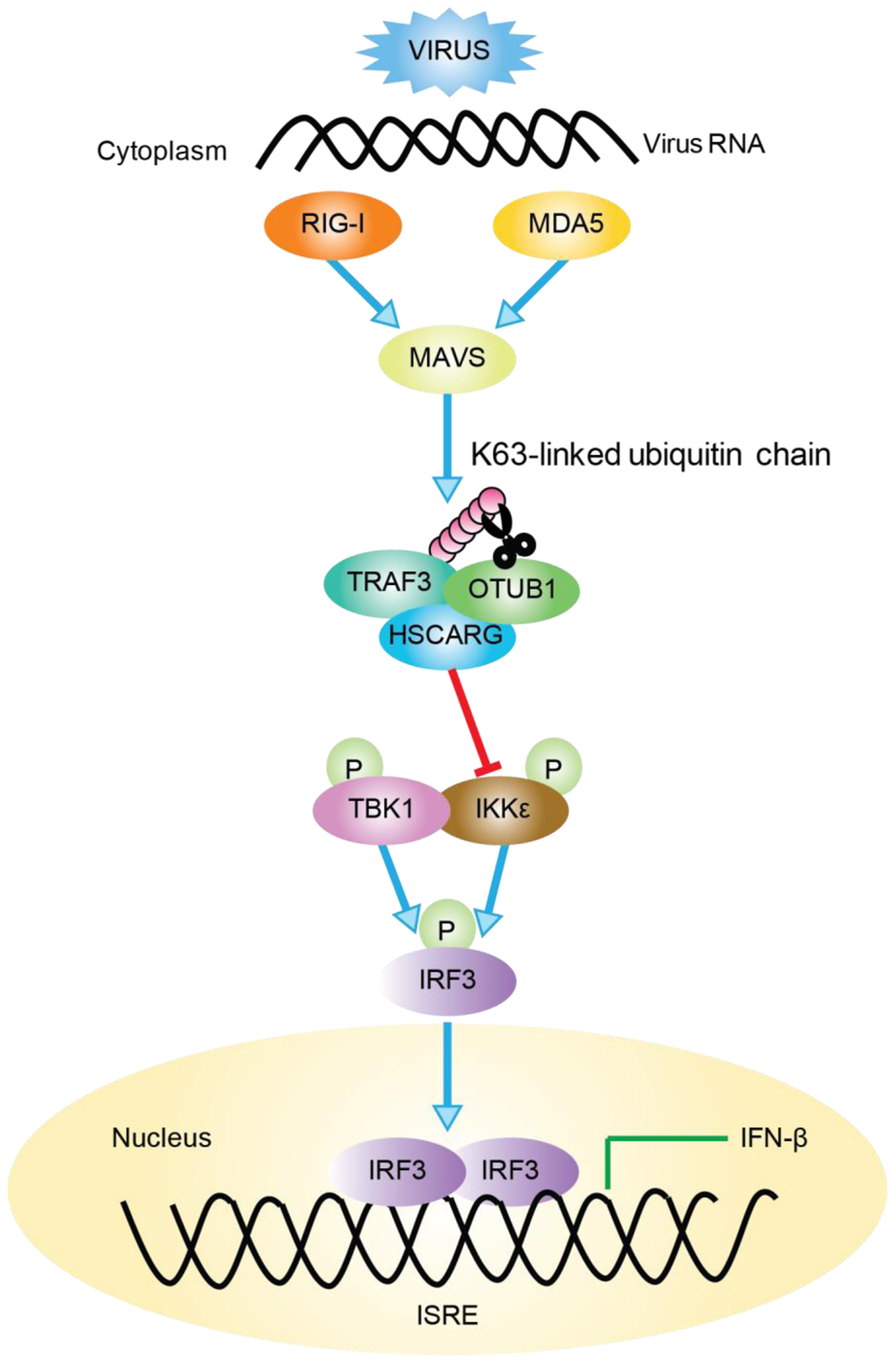 Working model of TRAF3-dependent regulation of RLR signaling pathway by HSCARG.