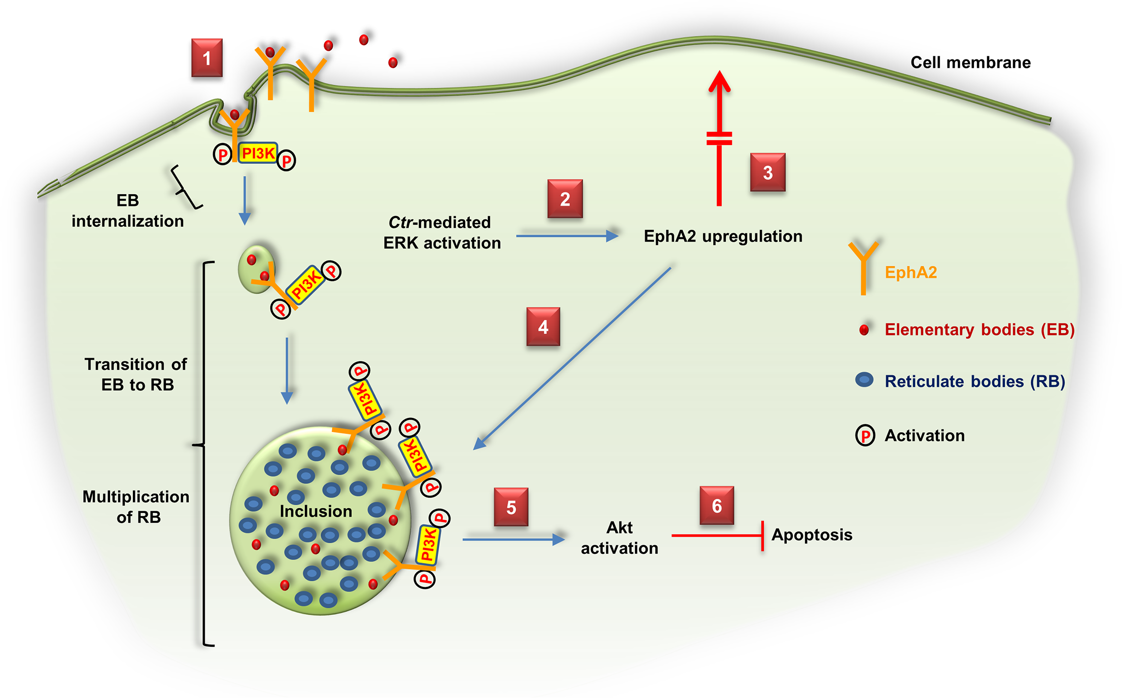 Schematic model depicting the role of EphA2 as an invasion and intracellular signaling receptor for <i>C</i>. <i>trachomatis</i>.