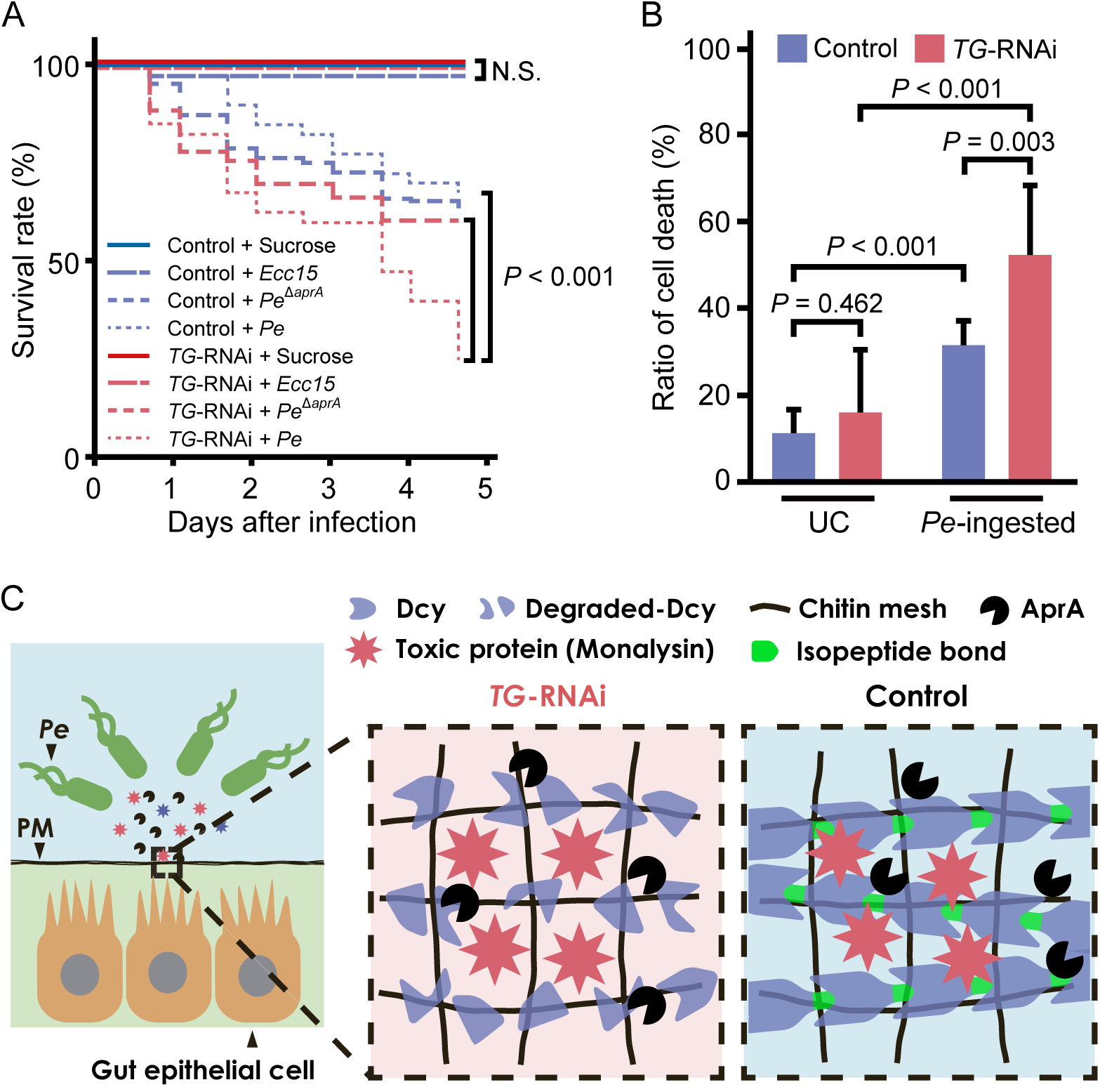 TG-dependent protection against <i>P</i>. <i>entomophila</i> infection in the gut.