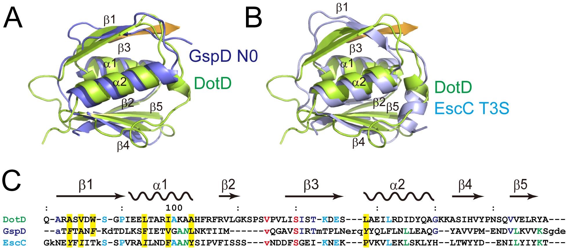 Comparison of DotDΔN with secretin periplasmic subdomains.
