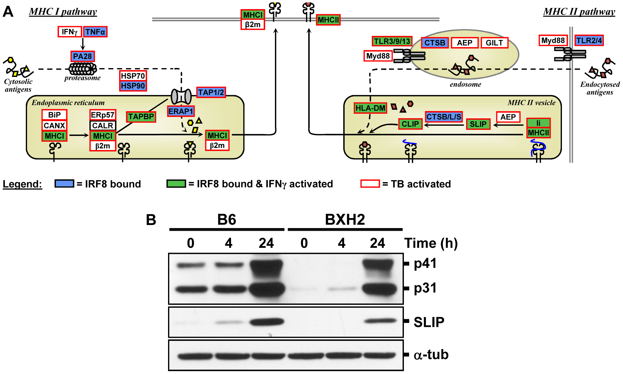 The IRF8 binding sites are strongly associated with antigen presenting cells function.