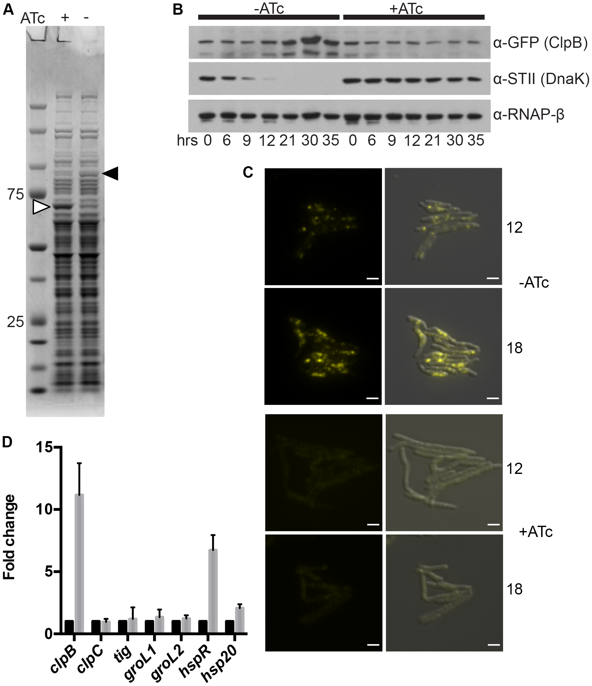 ClpB relocalizes to polar foci and is upregulated after DnaK depletion.