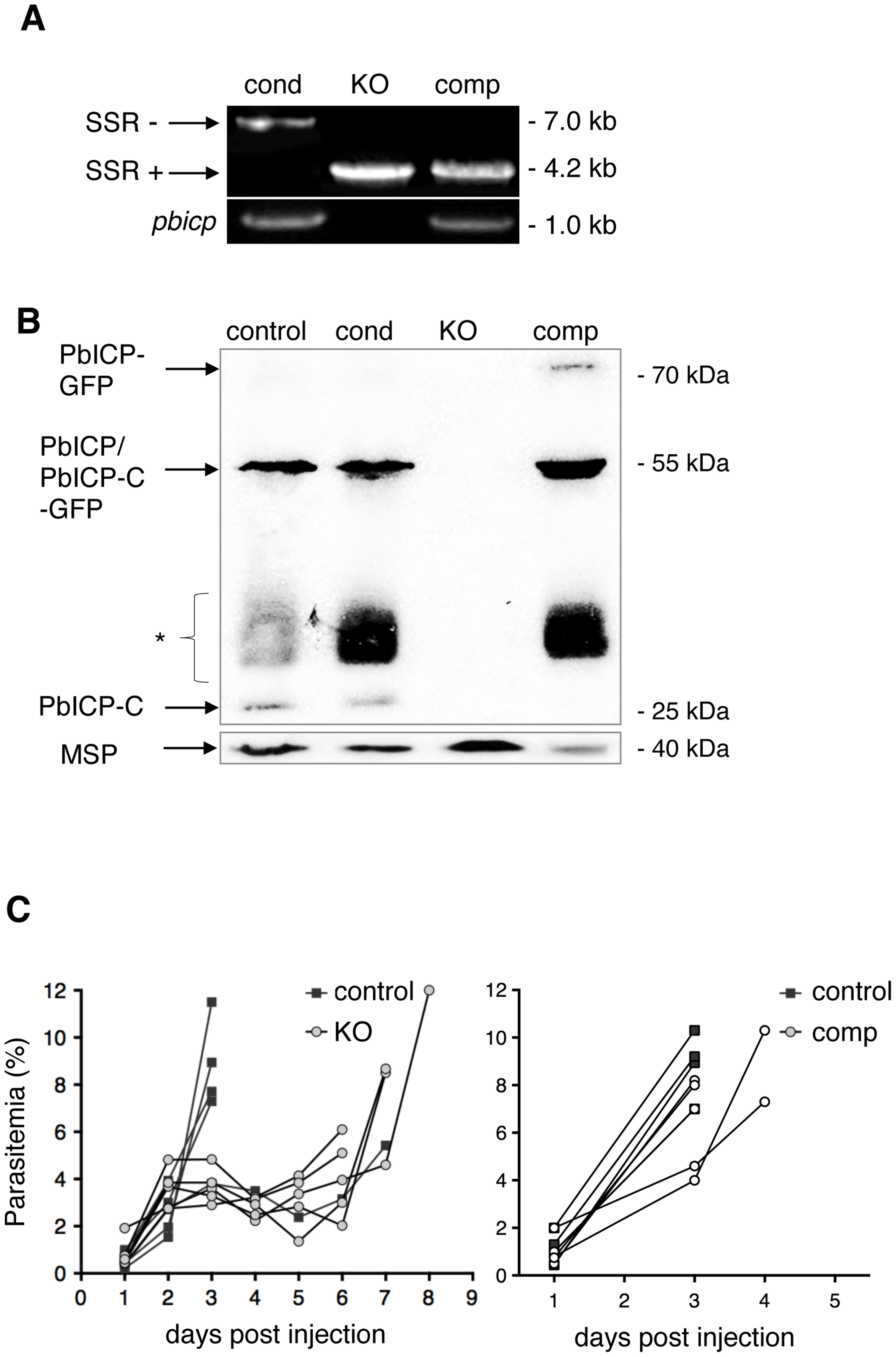 PbICP is not essential for parasite blood stage development.