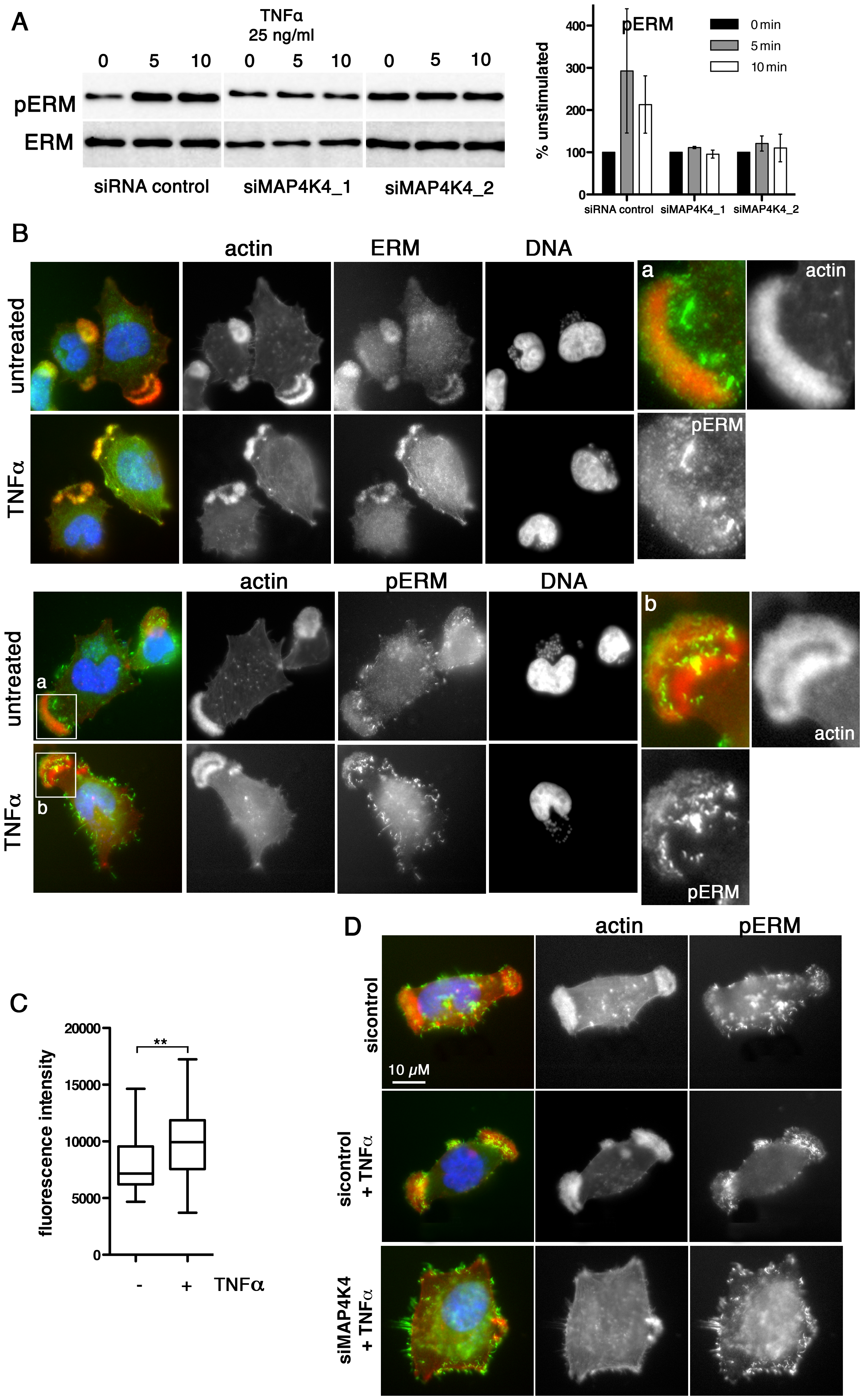TNFα-induced ERM protein activation is MAP4K4 dependent.