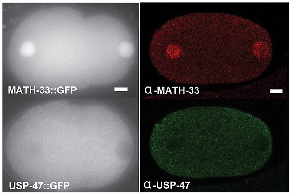 MATH-33 and USP-47 are not enriched at cortex or centrosome.