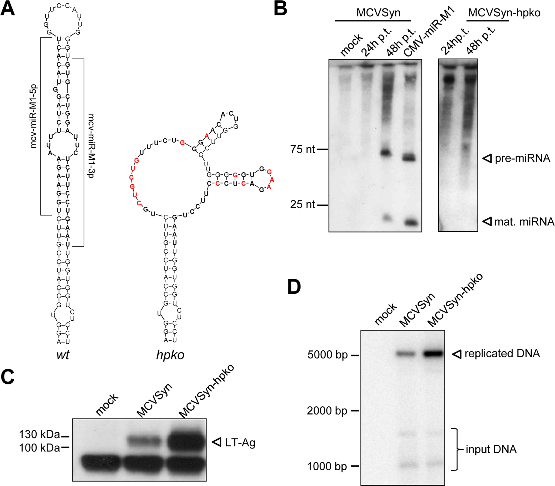 A mcv-miR-M1 knockout mutant exhibits increased LT-Ag expression and enhanced viral DNA replication.