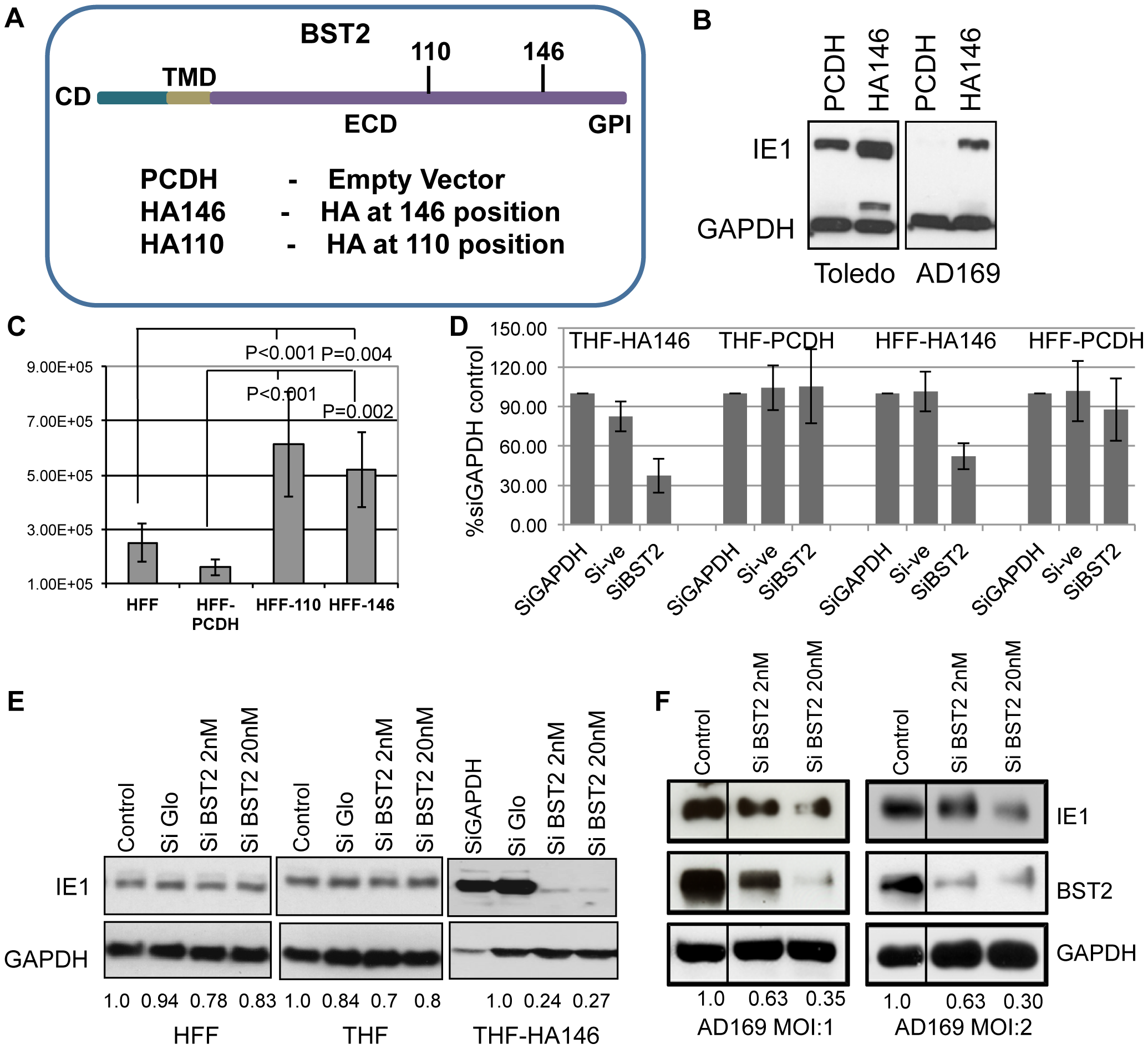 BST2/Tetherin enhances HCMV infection and release.