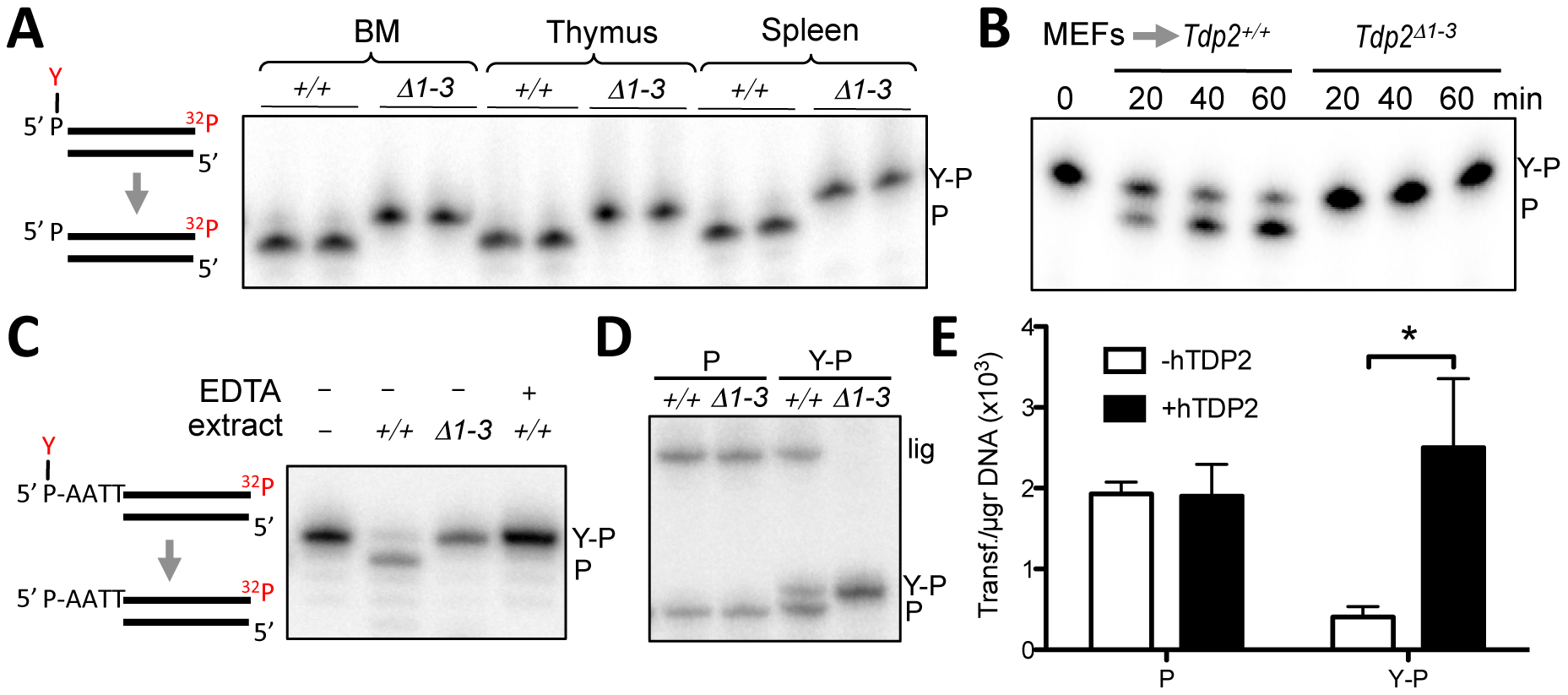Deletion of <i>Tdp2</i> in mouse abolishes 5′-TDP activity and ligation of 5′ phosphotyrosine-blocked ends.