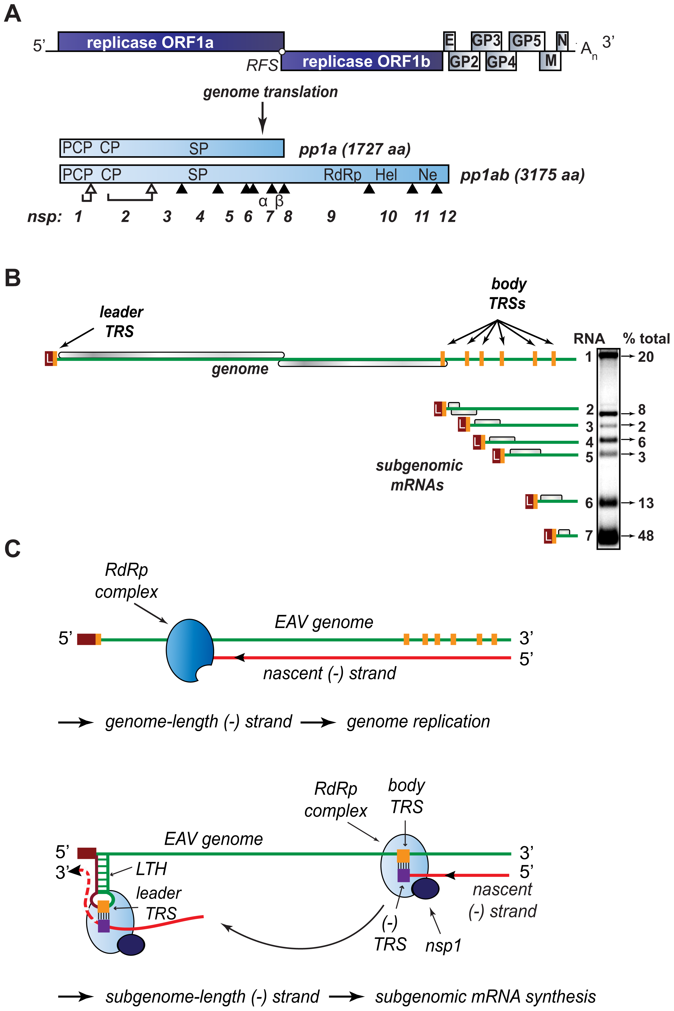 Organization and expression of the polycistronic EAV +RNA genome.