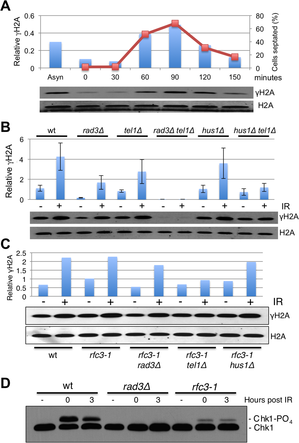 Hus1-independent phosphorylation of histone H2A by Rad3/ATR in <i>rfc3-1</i> cells.