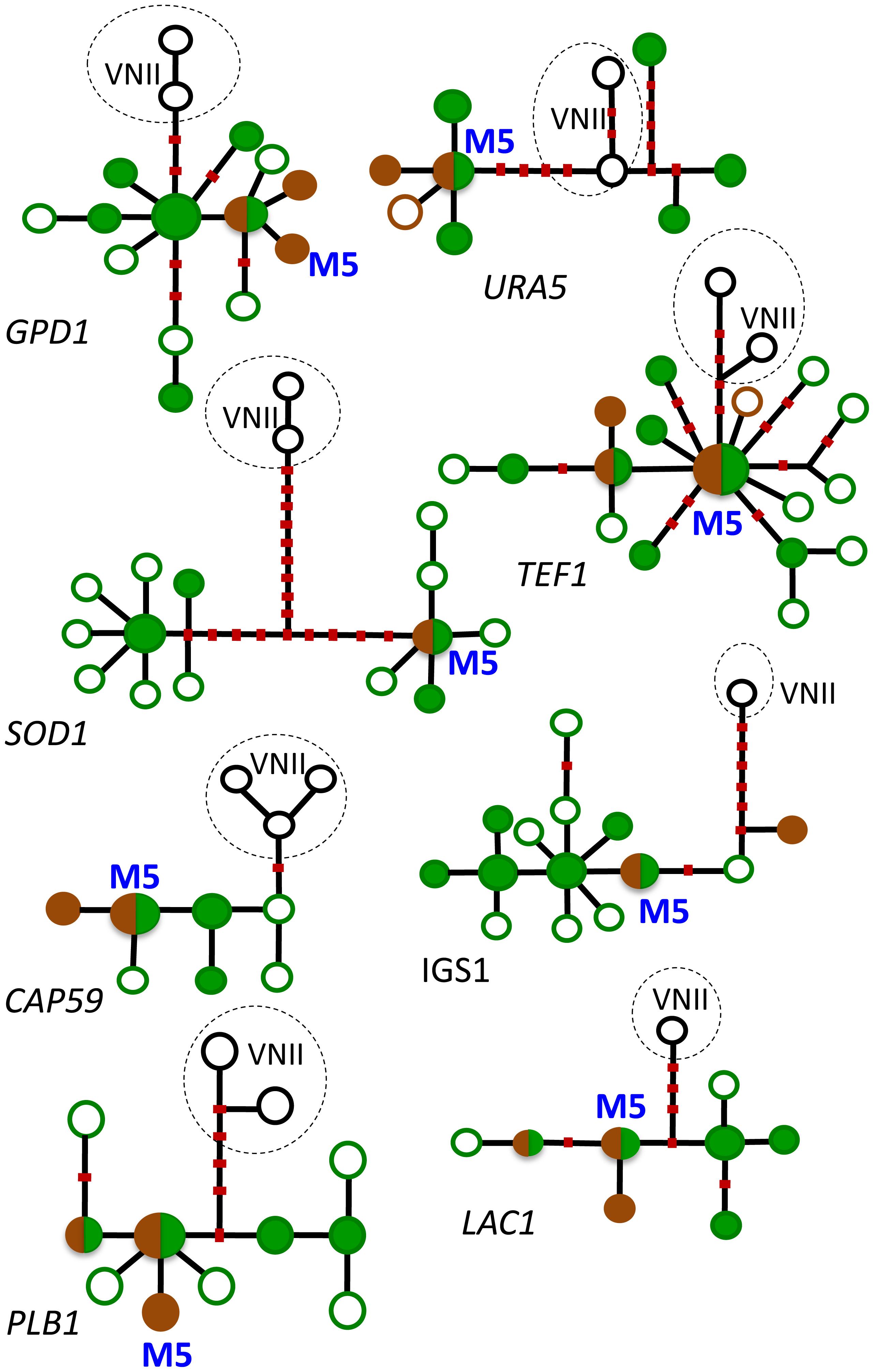 Haplotype networks of the eight MLST loci.