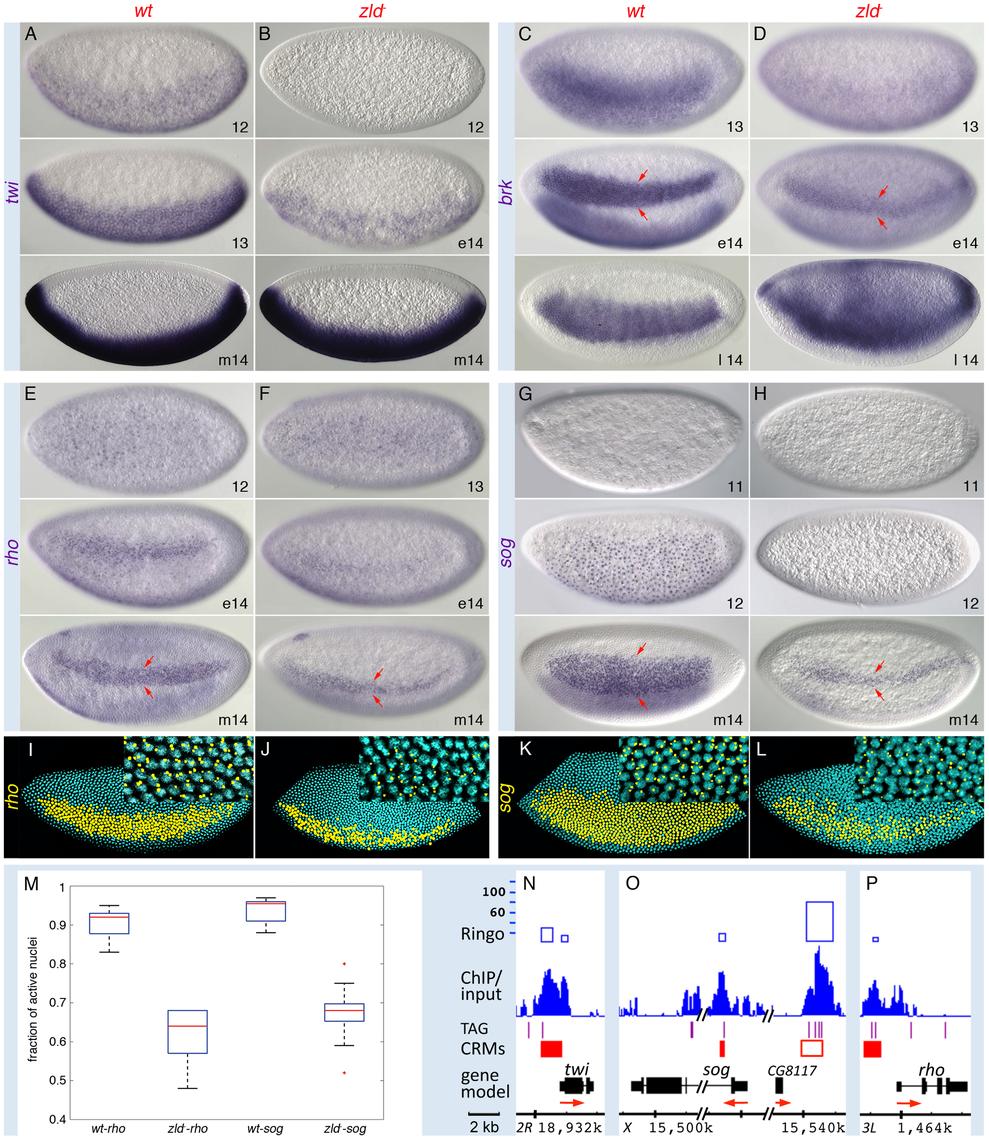 Zld potentiates Dl morphogentic activity.