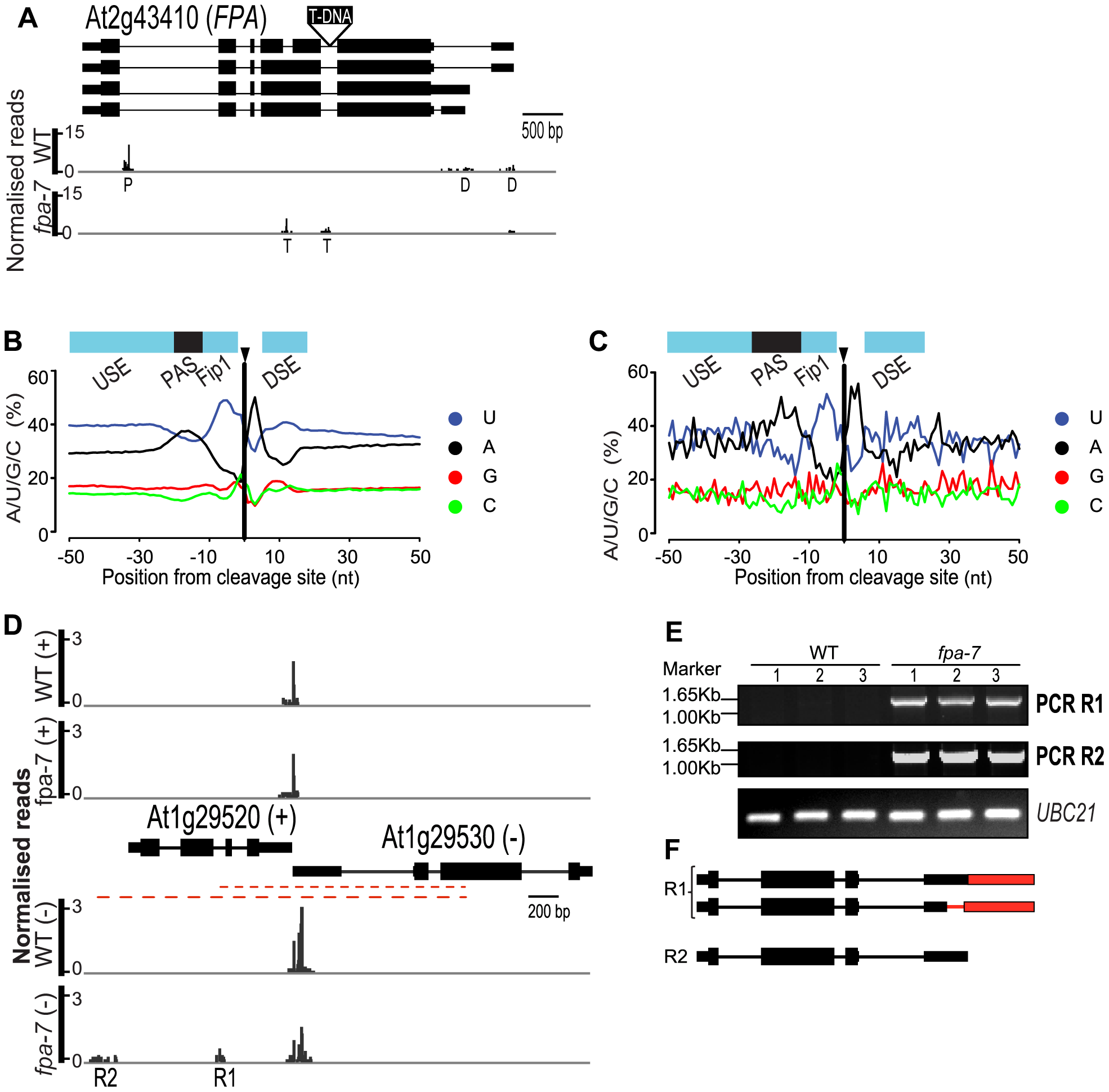 FPA affects intronic cleavage site selection and intergenic read-through.
