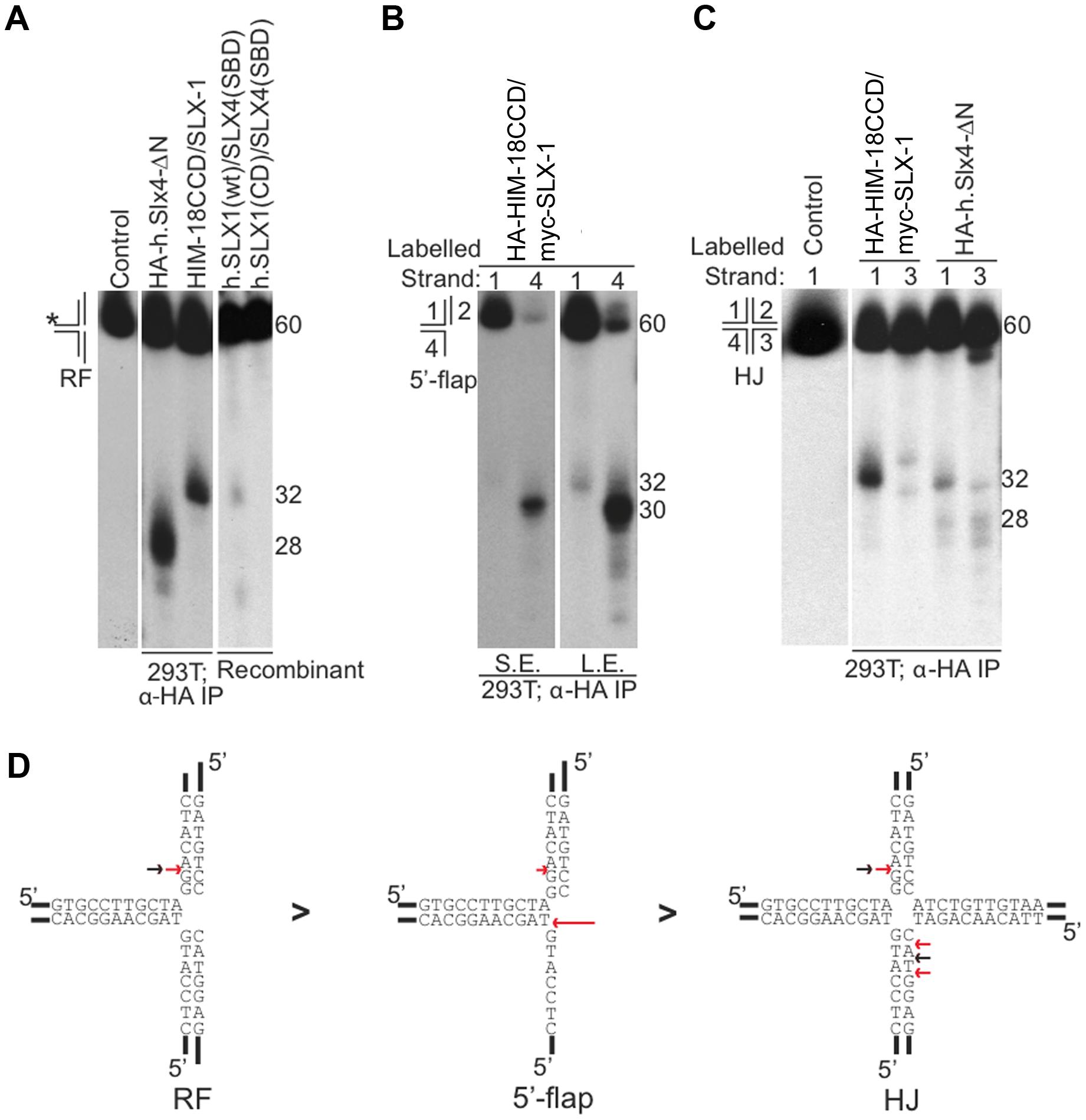 Cleavage specificity of the <i>C. elegans</i> HIM-18/SLX-1 complex.