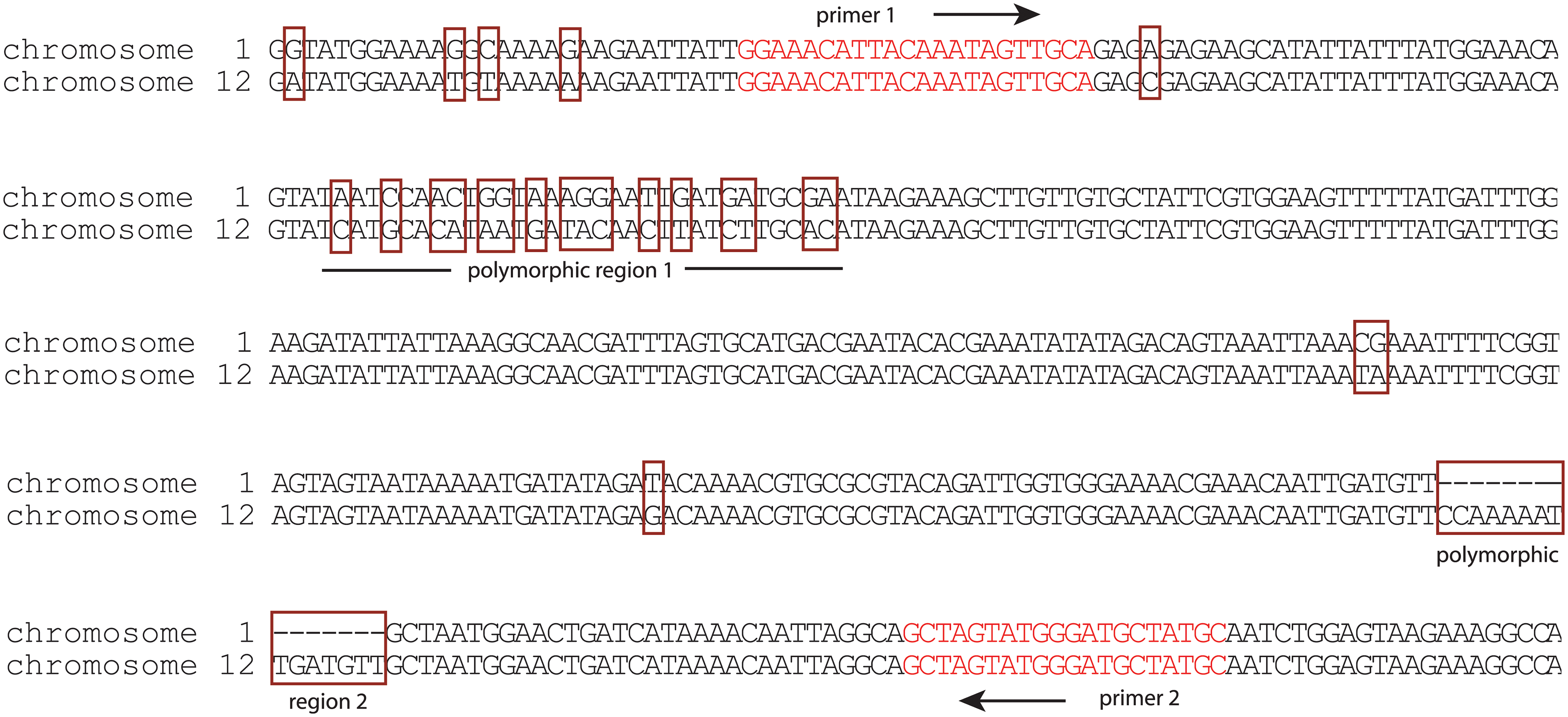 Induction of <i>var2csa</i> in HB3 specifically activates the locus on chromosome 12.