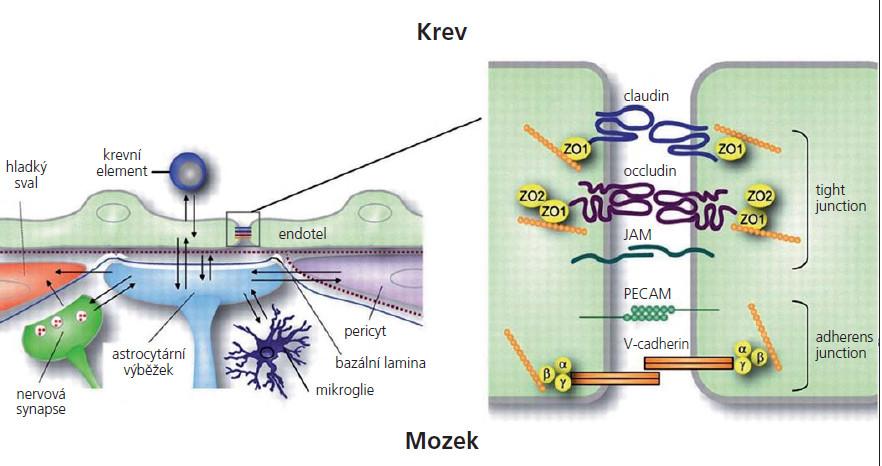 Struktura hematoencefalické bariéry. JAM – junkční adhezní molekuly, PECAM – endoteliální adhezní molekuly, ZO – zona occludens.