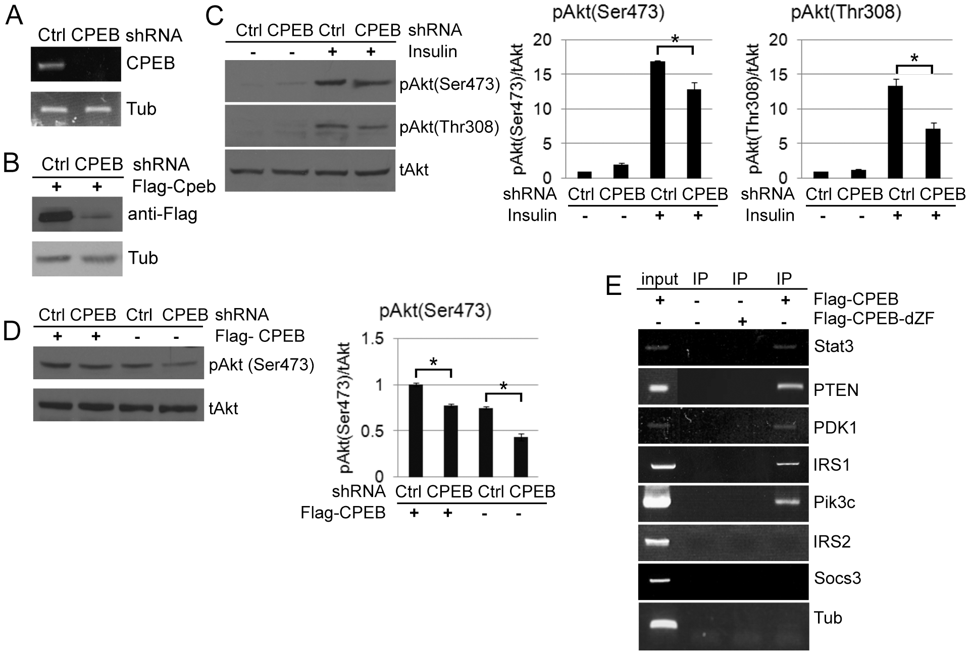 CPEB depletion in HepG2 cells results in aberrant insulin signaling.