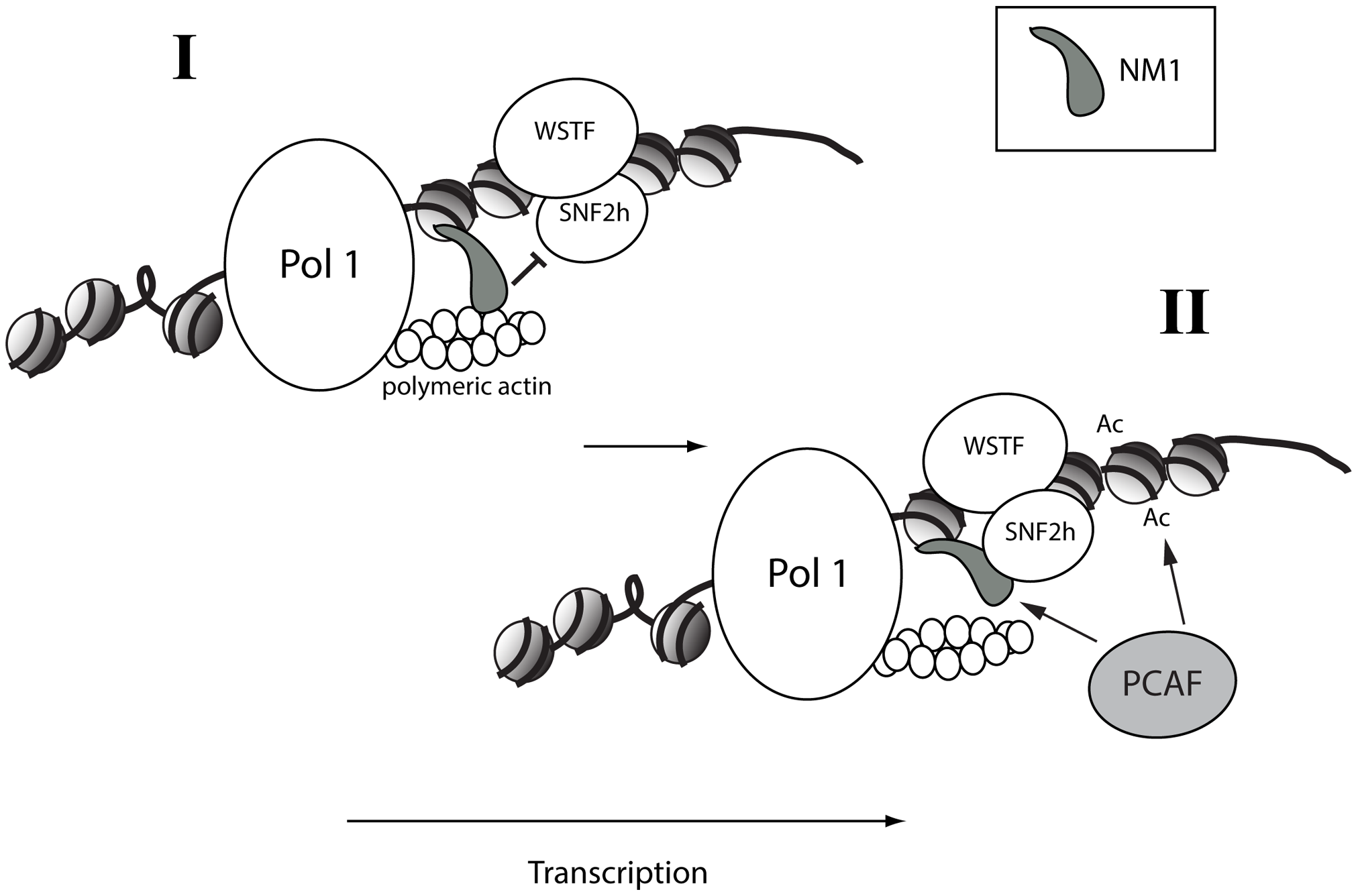 A speculative two-step model in which NM1 bridges the pol I machinery and chromatin <i>via</i> an interaction with SNF2h that competes with actin.