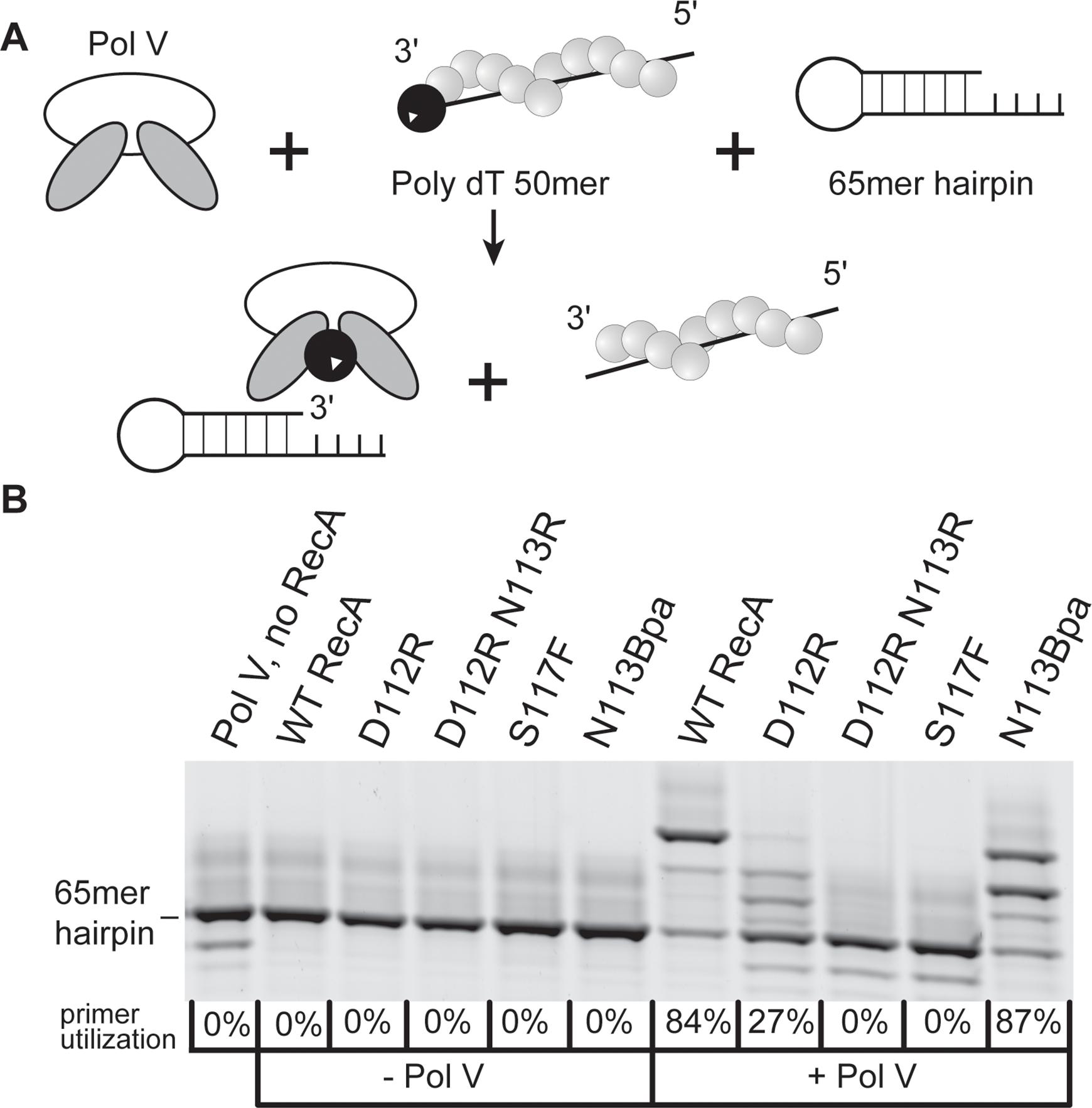 RecA variant D112R N113R is defective in DNA polymerase V activation.
