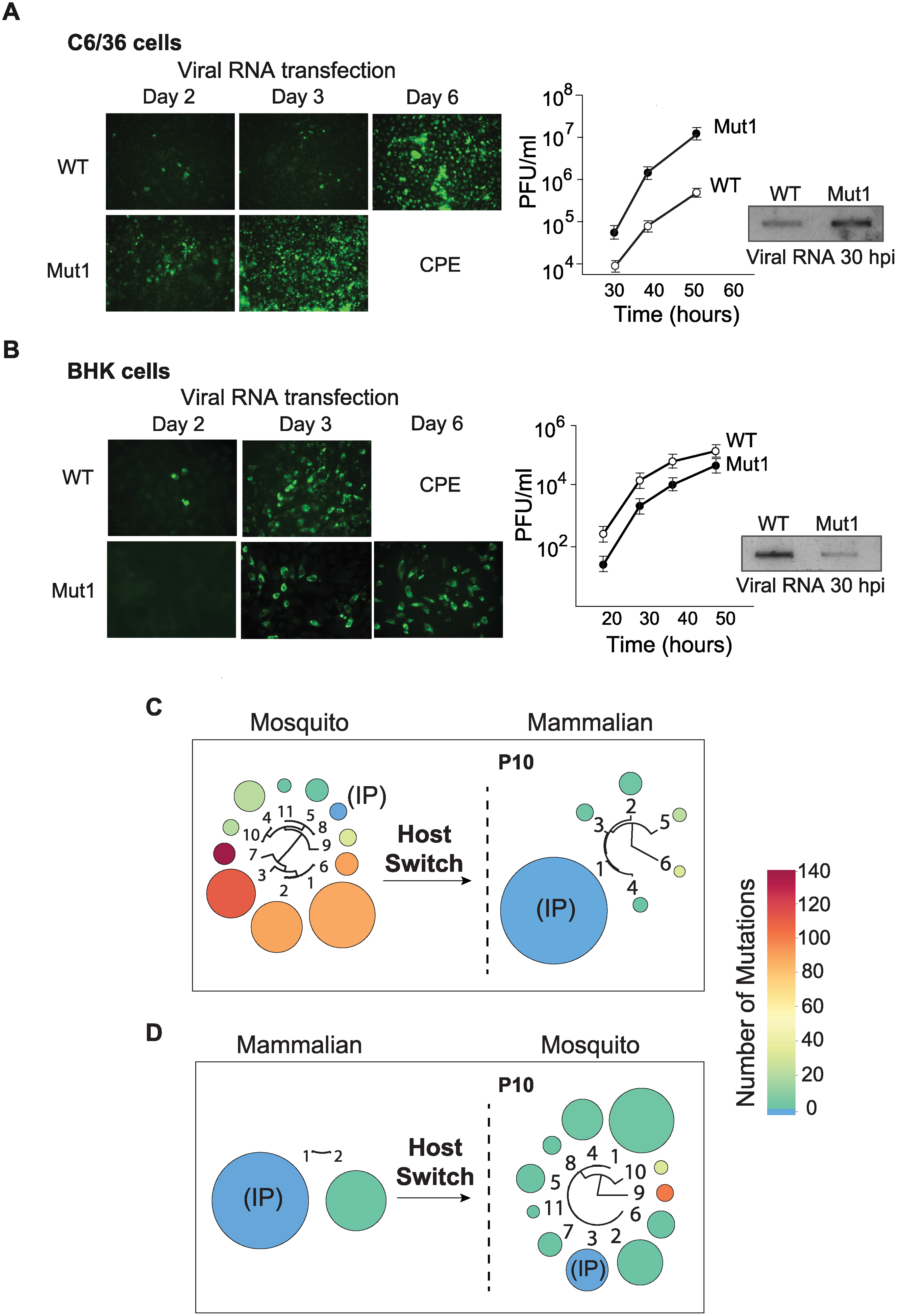 Fitness parameters and evolution of viral populations after host switch indicate that the DENV 3'UTR is under host-specific selective pressure.