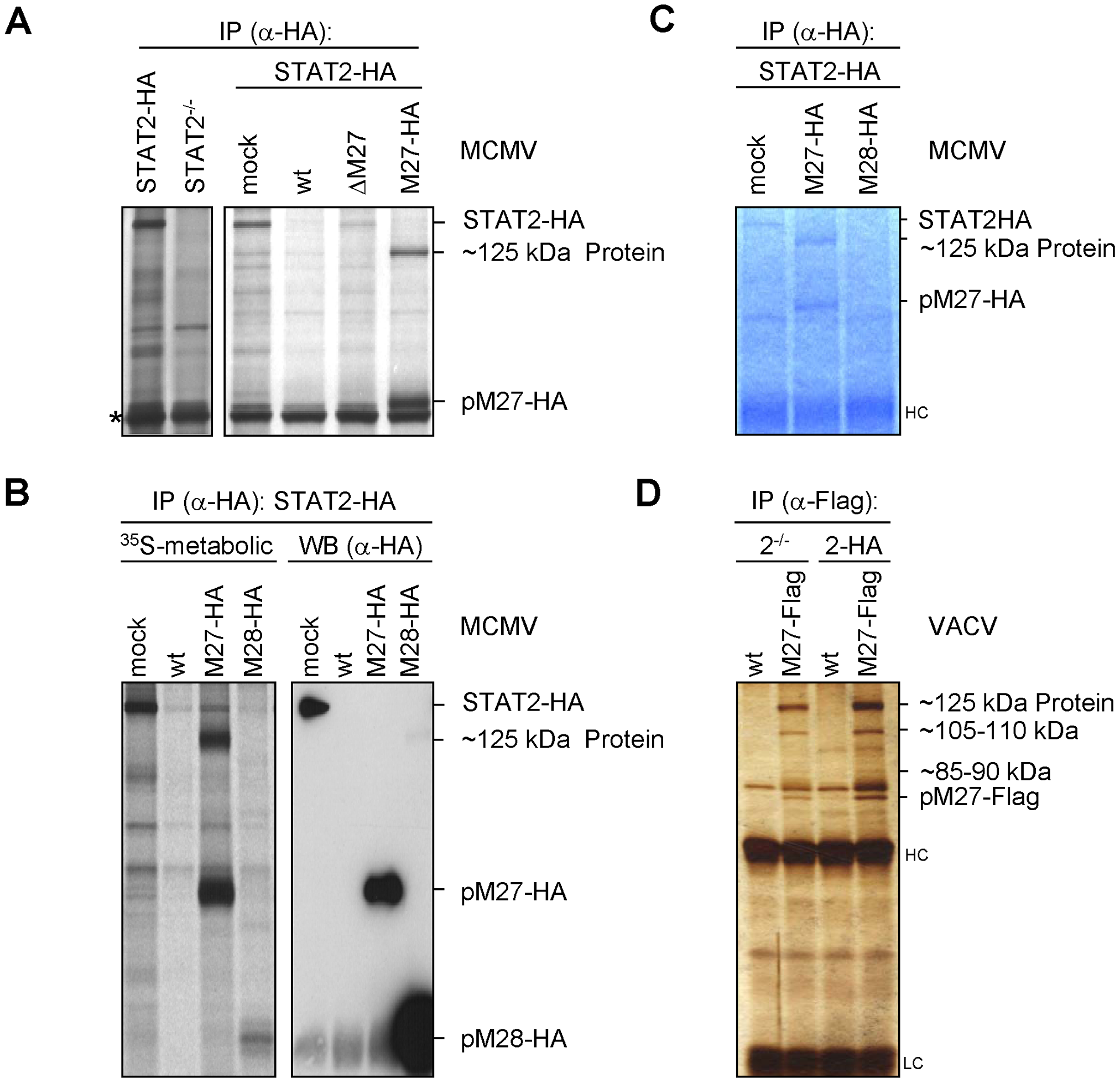 pM27 co-precipitates a ∼125 kDa protein.