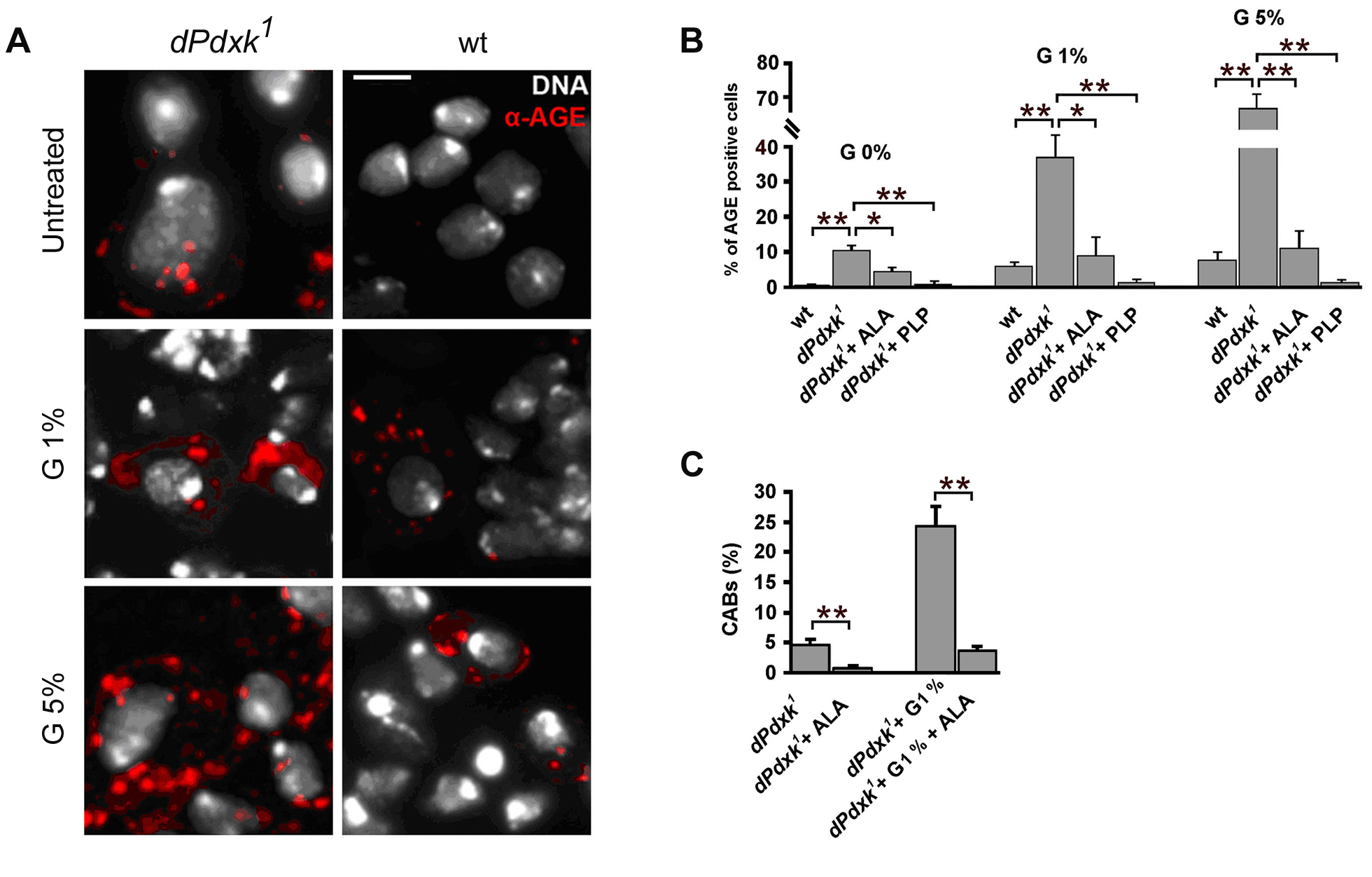 <i>dPdxk<sup>1</sup></i> mutant brains exhibit higher frequencies of AGE-positive cells than wild type (wt) brains.