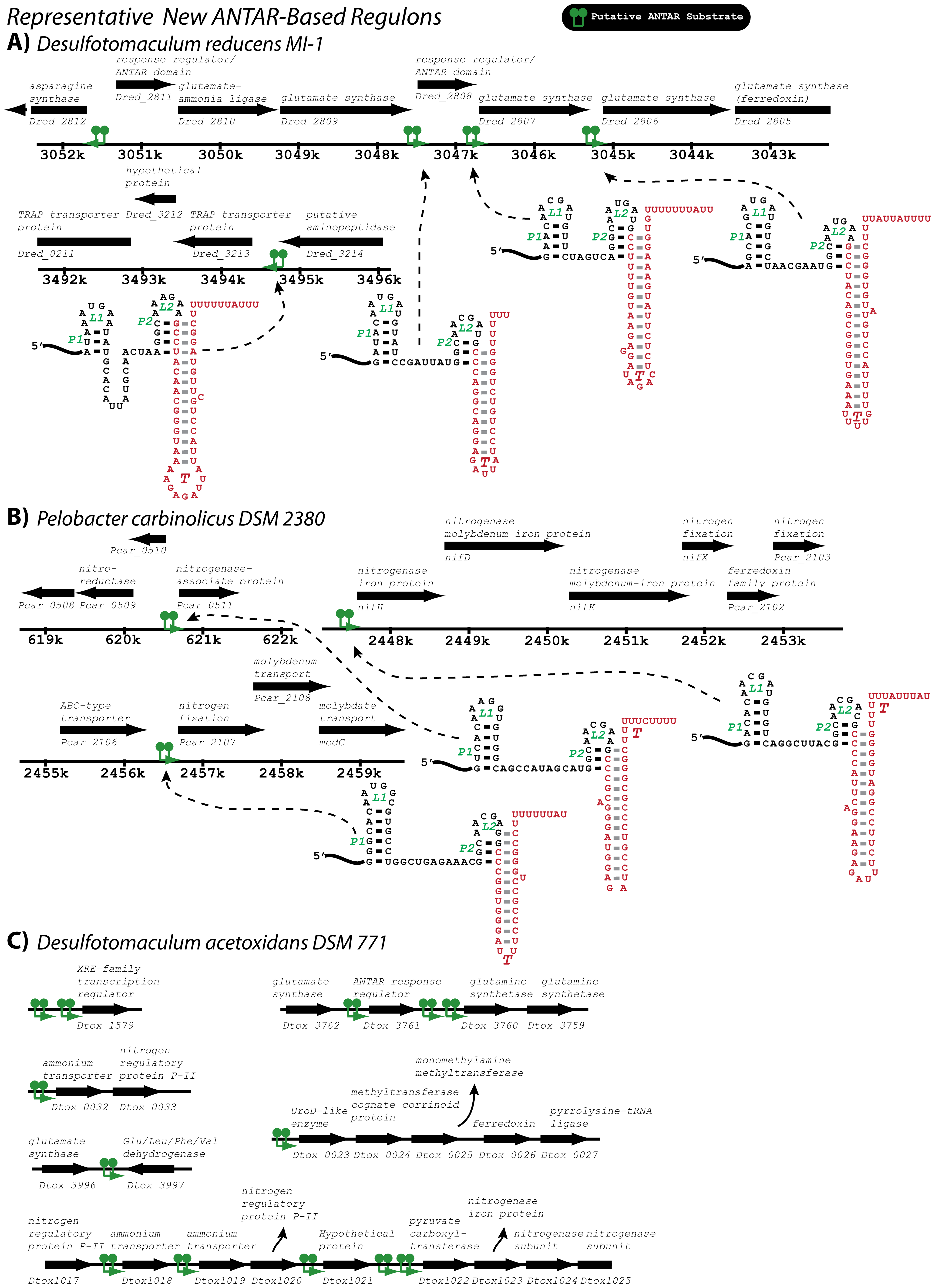 A few representative ANTAR-based regulons identified in this study.
