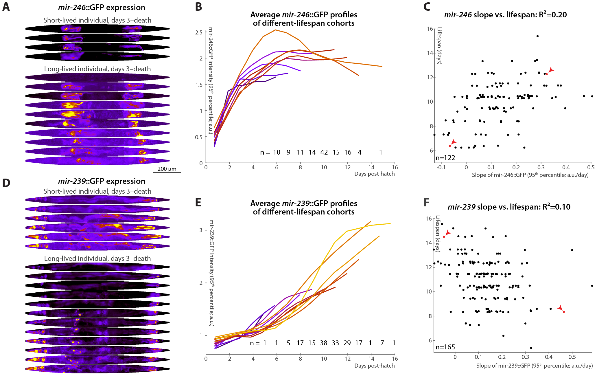 Changes in <i>mir-246</i>::GFP and <i>mir-239</i>::GFP expression over time predict longevity.
