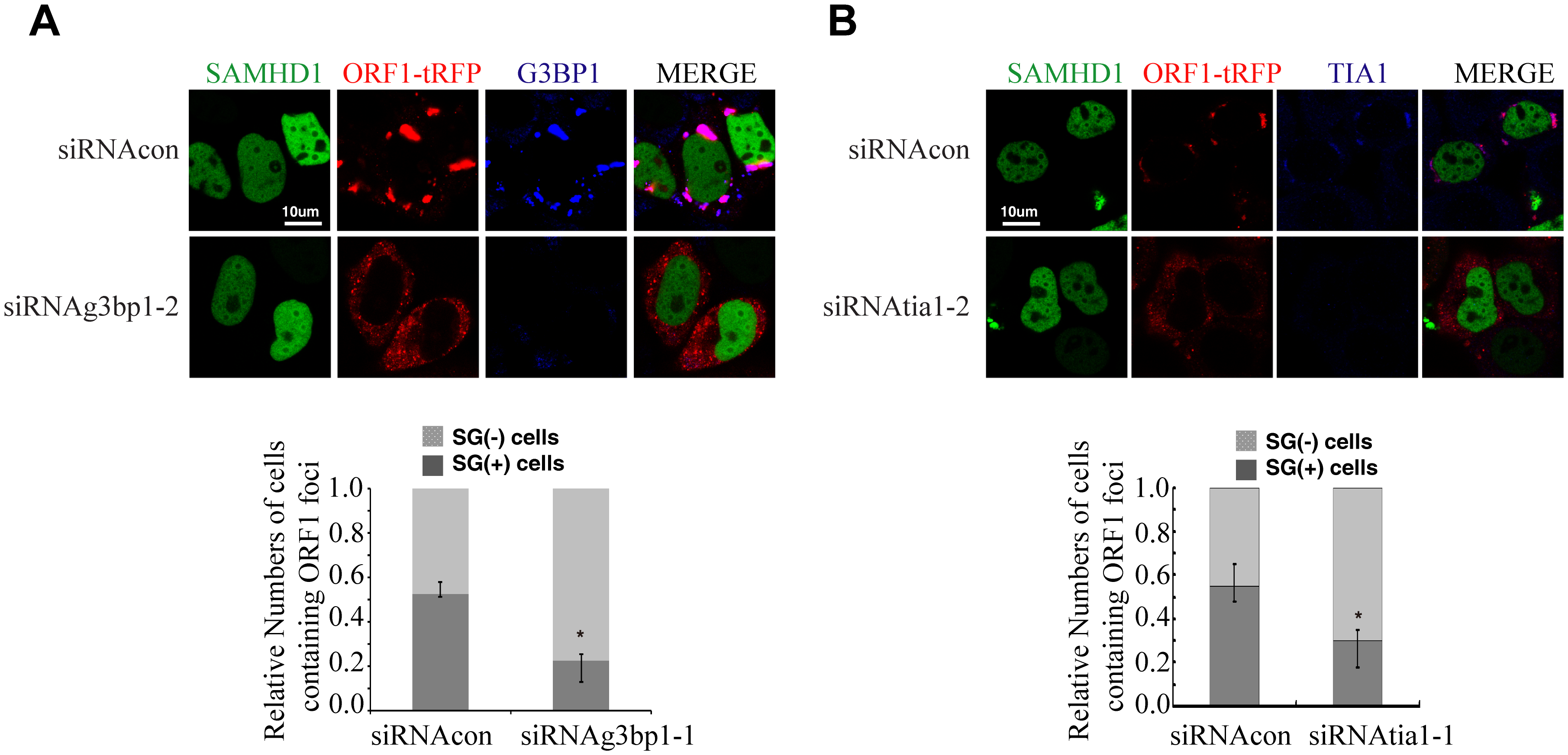 TIA1 and G3BP1 are required for SAMHD1 to form large ORF1p foci.