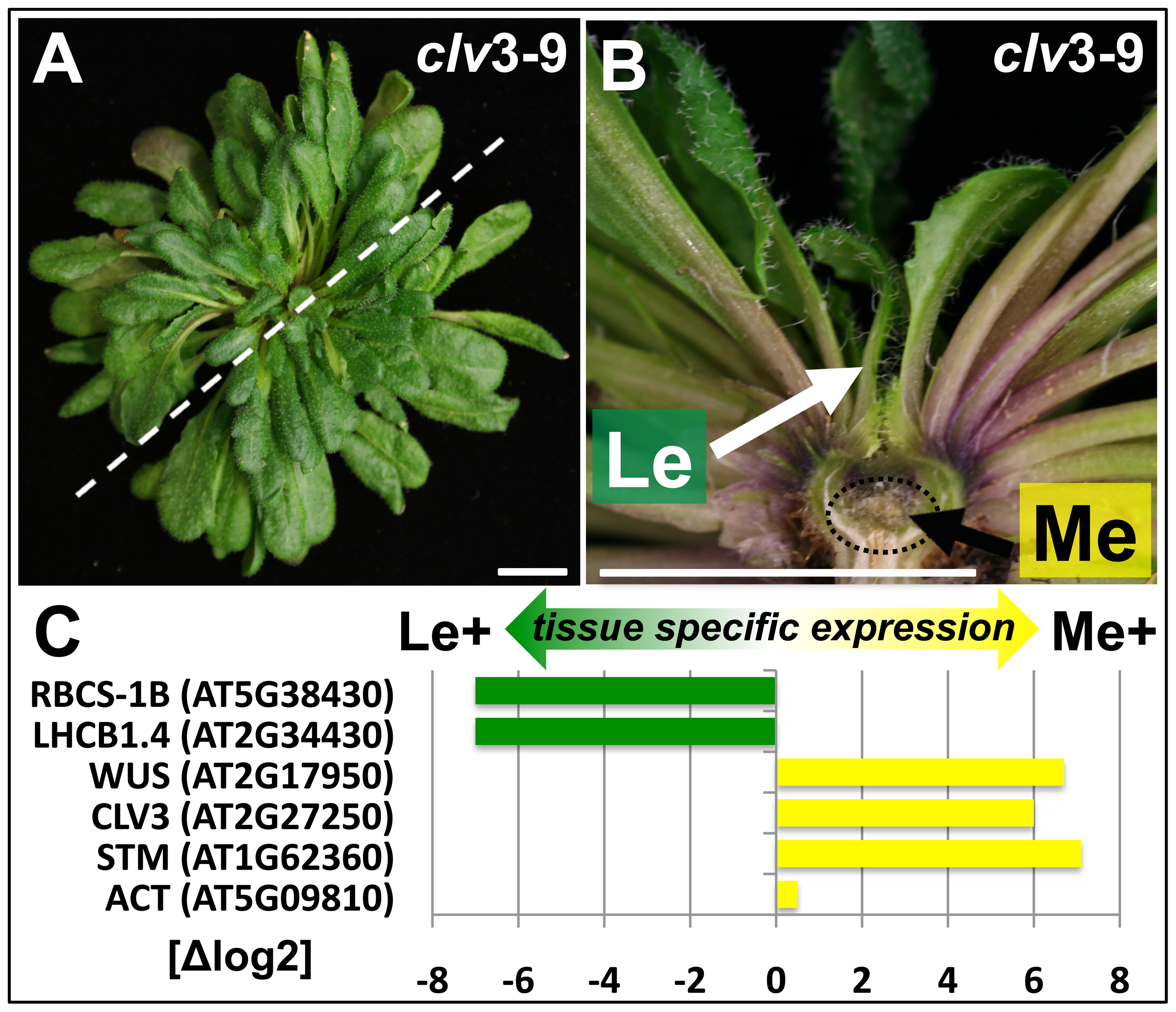 Tissue enrichment through manual dissection of <i>Arabidopsis clv3</i> mutants.