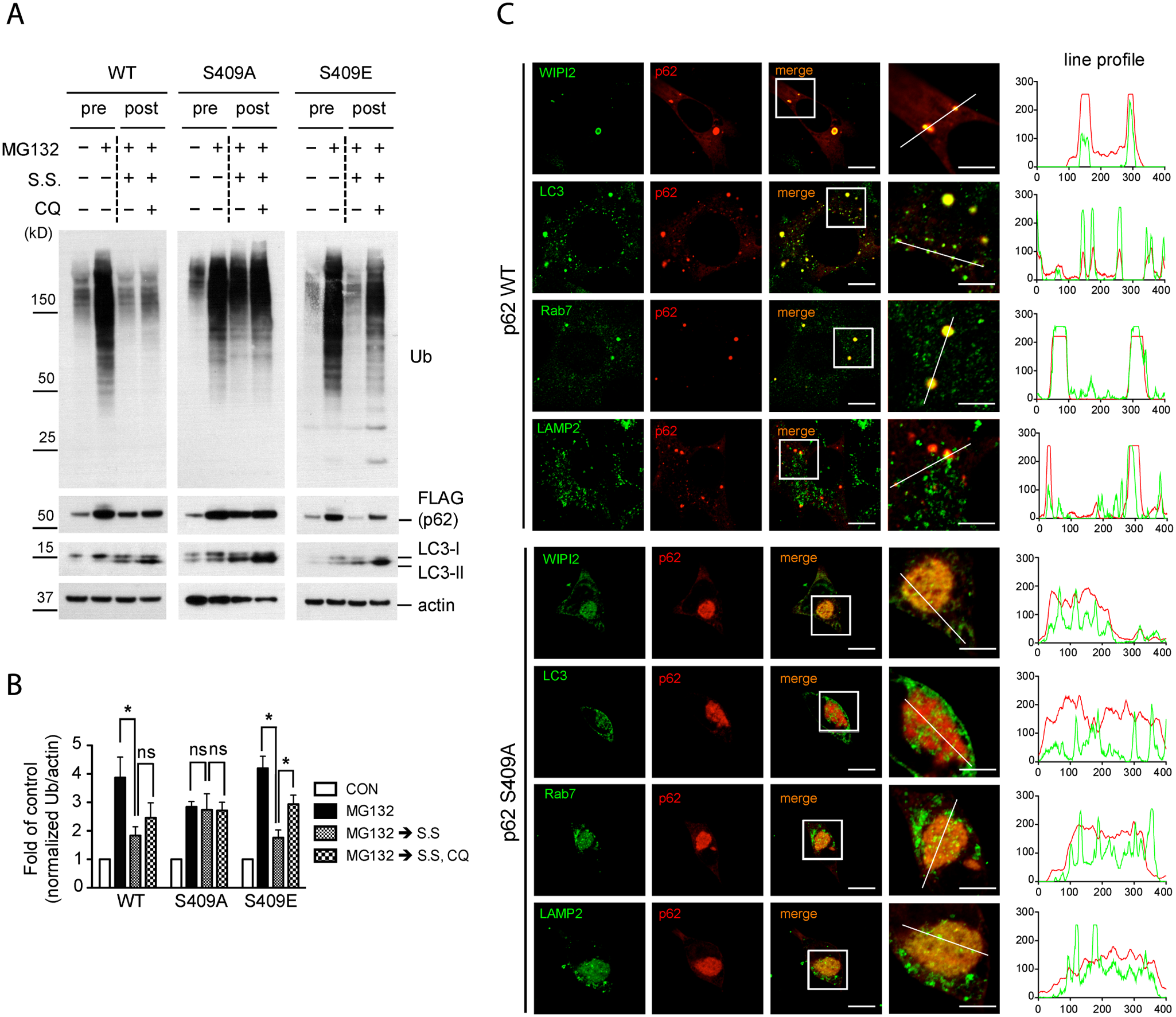 Phosphorylation of p62 at S409 is required for autophagic degradation of polyubiquitinated proteins and the recruitment of autophagy proteins.