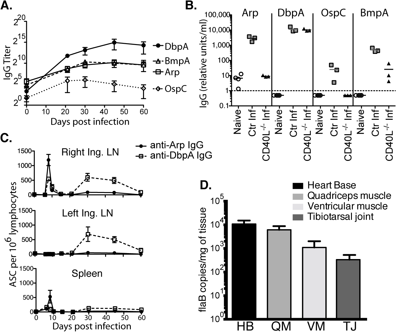 Induction of T-dependent and T-independent antibody responses to long-term Bb infection.