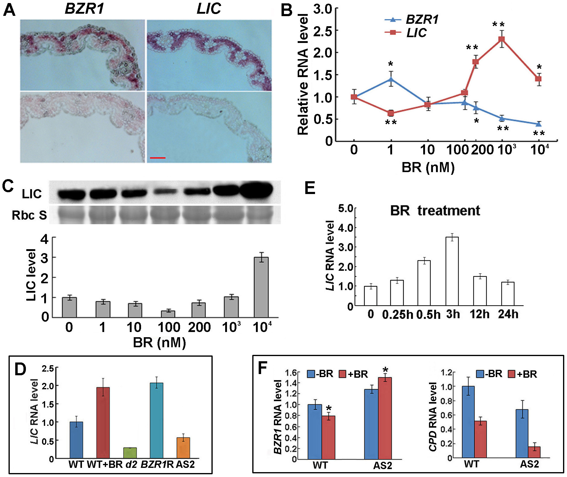 LIC and BZR1 expression patterns and their responses to BR.