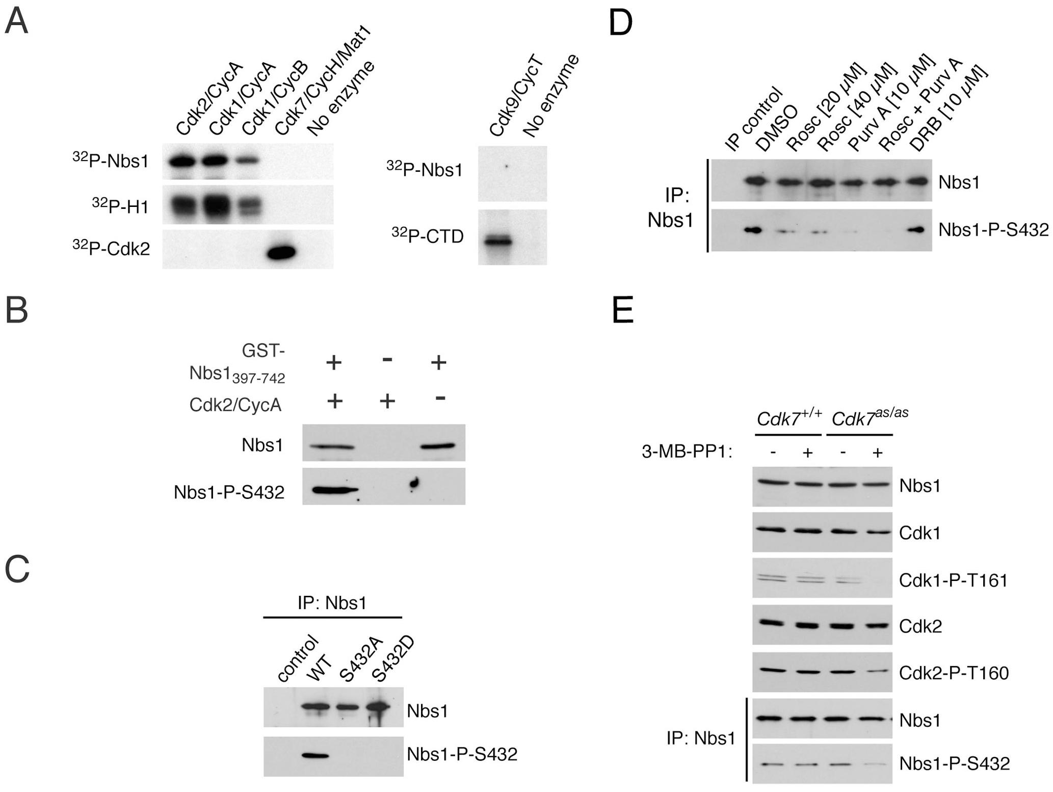CDKs phosphorylate Nbs1 on Ser432 in vitro and in vivo.