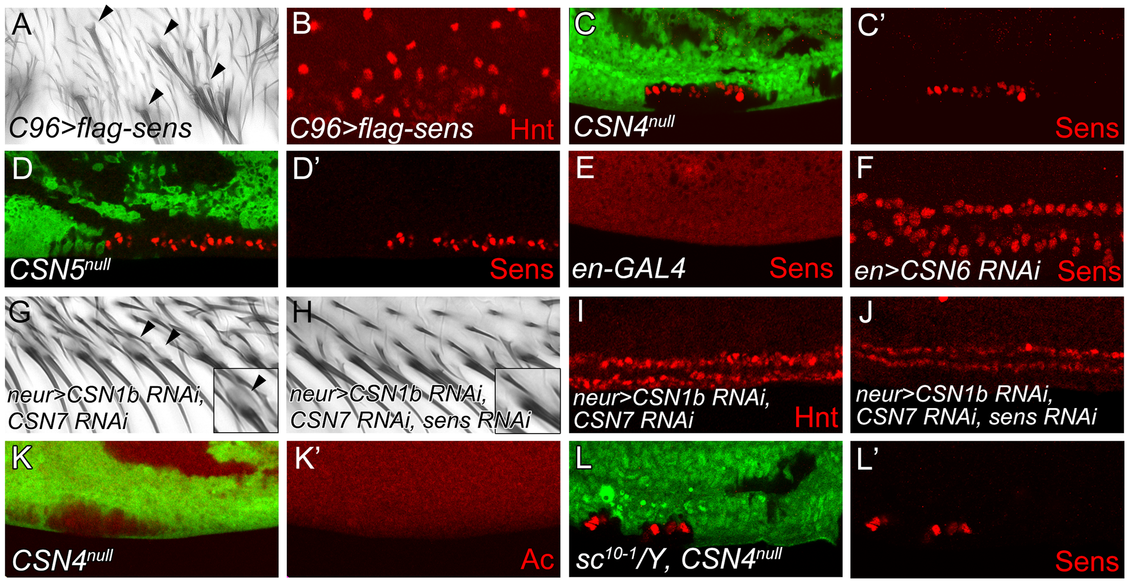 The CSN suppresses Sens to inhibit neural differentiation of PWM bristles.