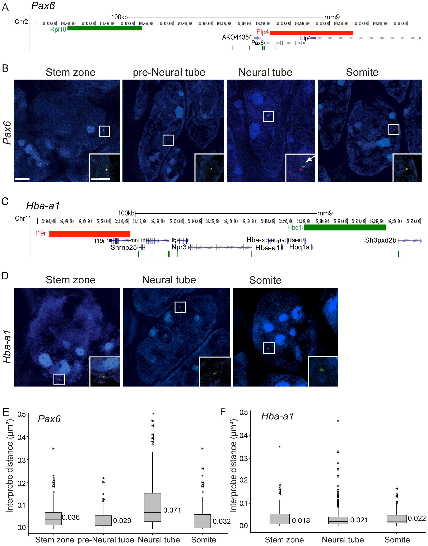 <i>Pax6</i> locus decompaction coincides with <i>Pax6</i> transcription.