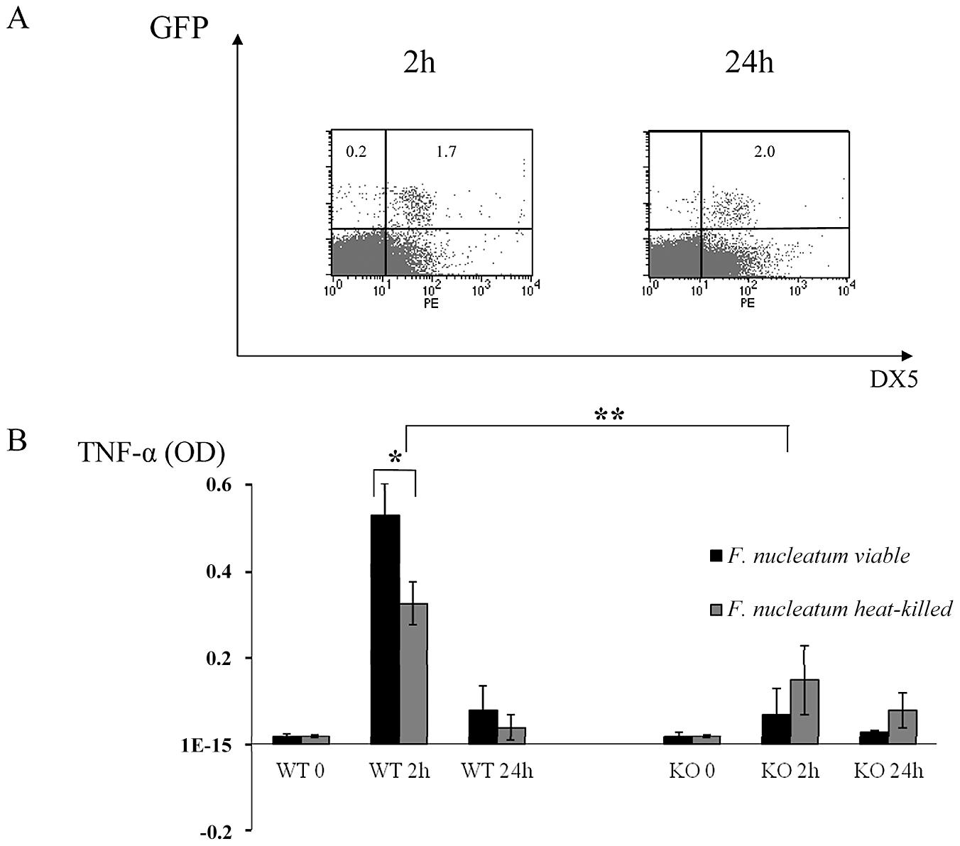 <i>In vivo</i> response to heat-treated <i>F. nucleatum</i> bacteria.