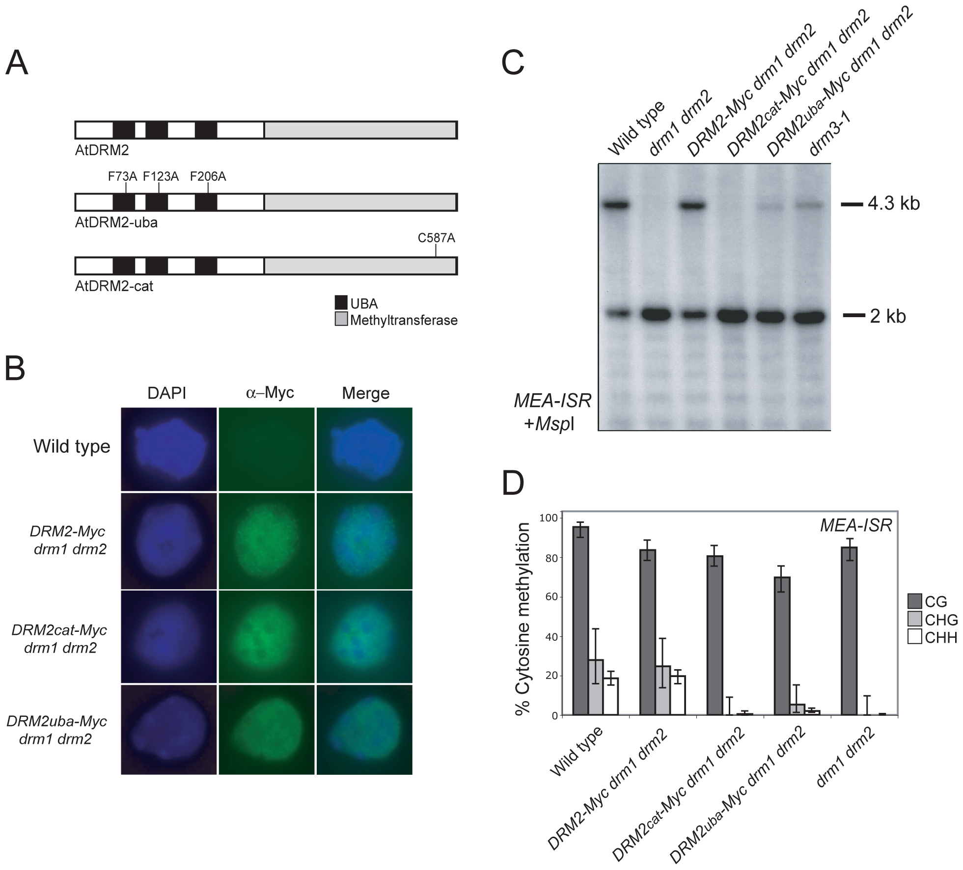 DRM2 catalytic and UBA domains are required for maintenance of non-CG methylation.