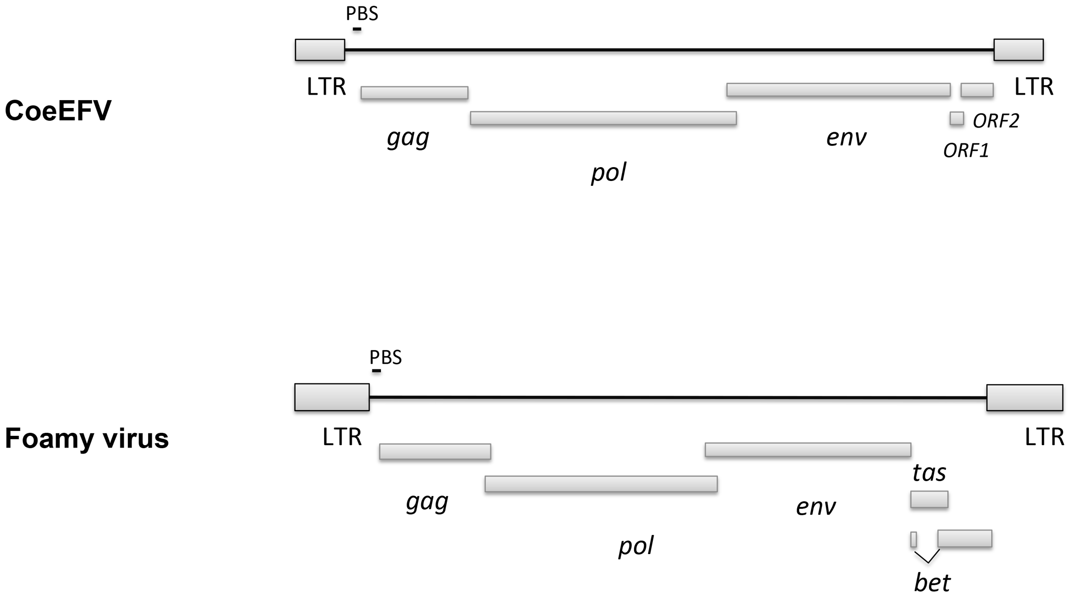 Comparison of the genome structures between CoeEFV and typical exogenous foamy virus.