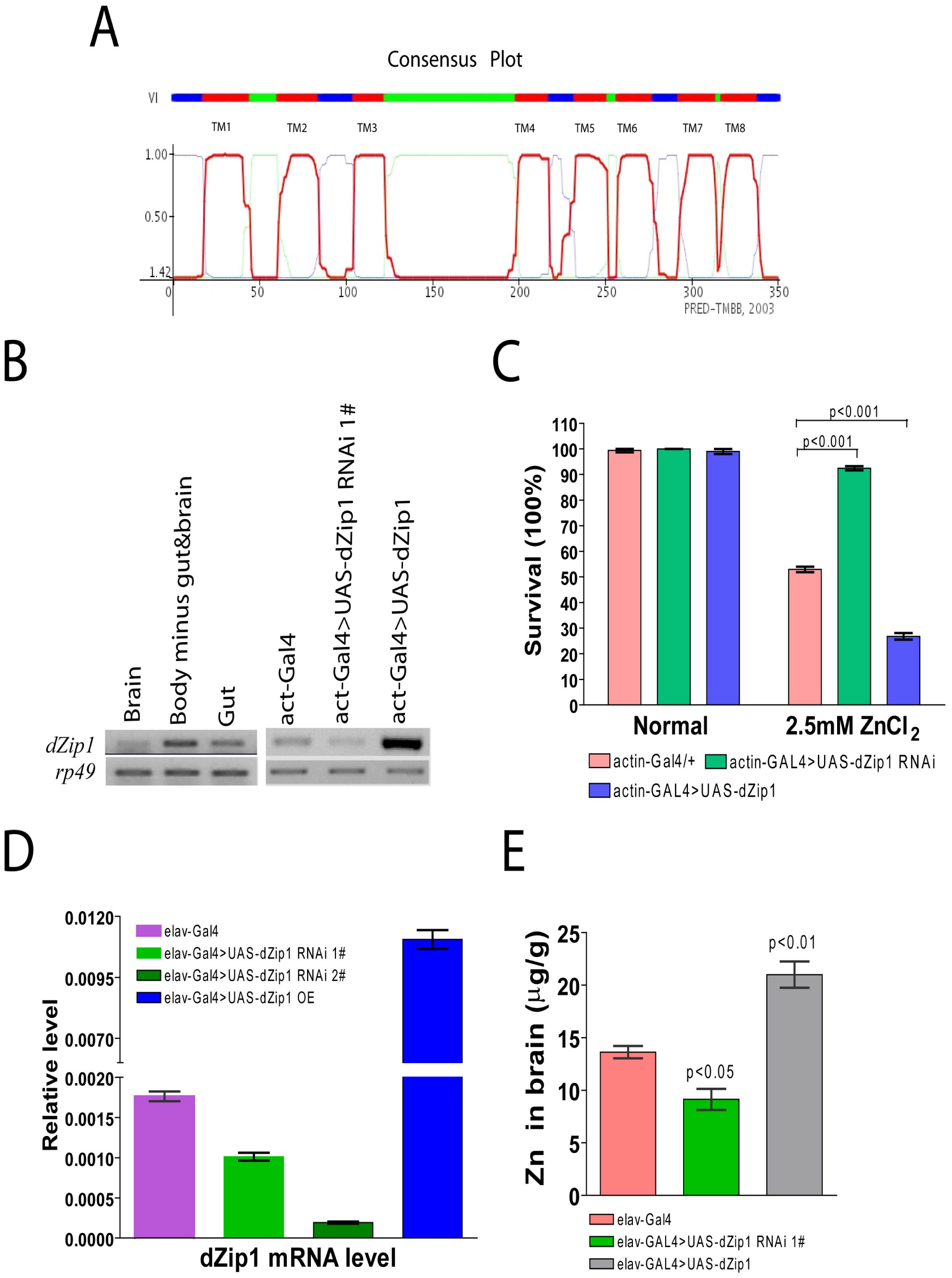 <i>dZip1</i> expression modulation result alteration in Zn sensitivity and Zn accumulation in <i>Drosophila</i>.