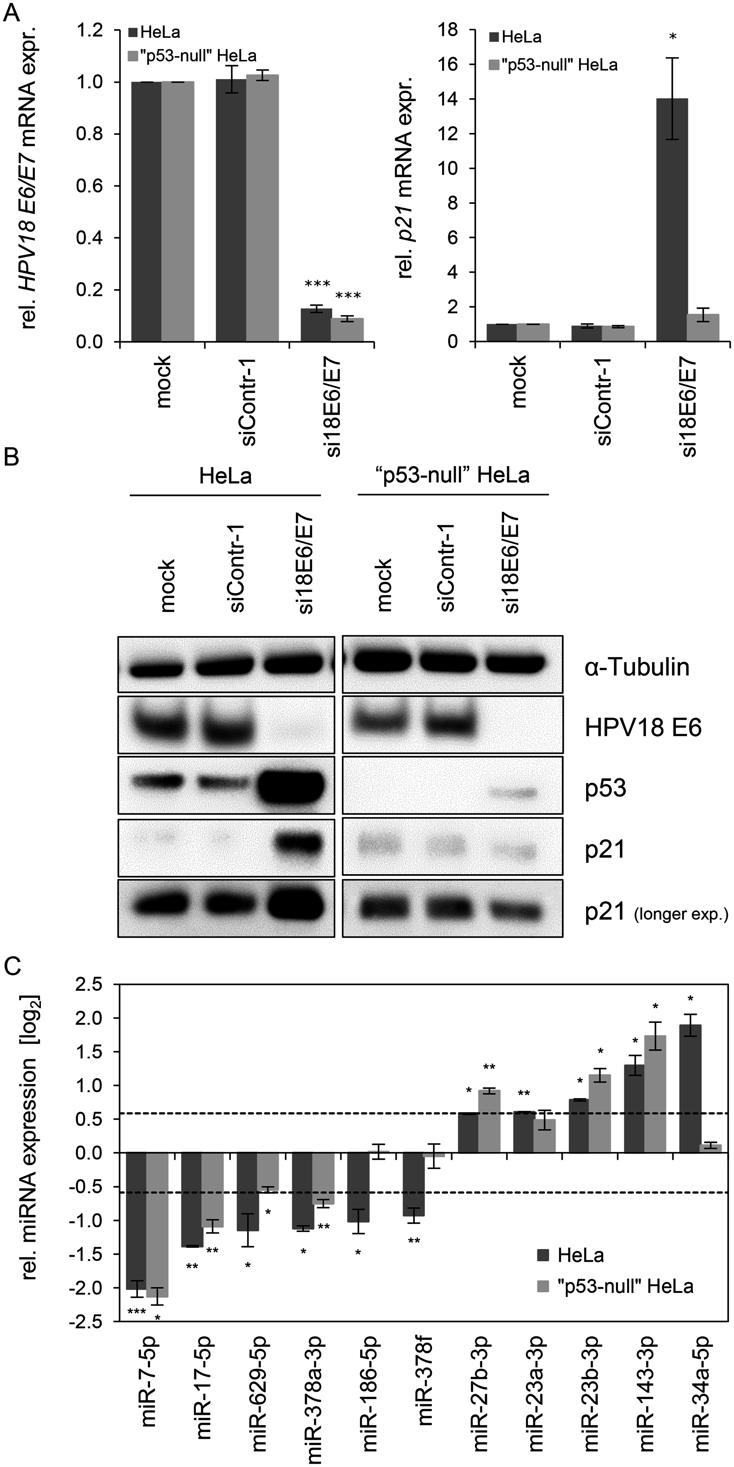 Effects of the p53 status on the <i>E6/E7</i>-dependent modulation of intracellular miRNAs.