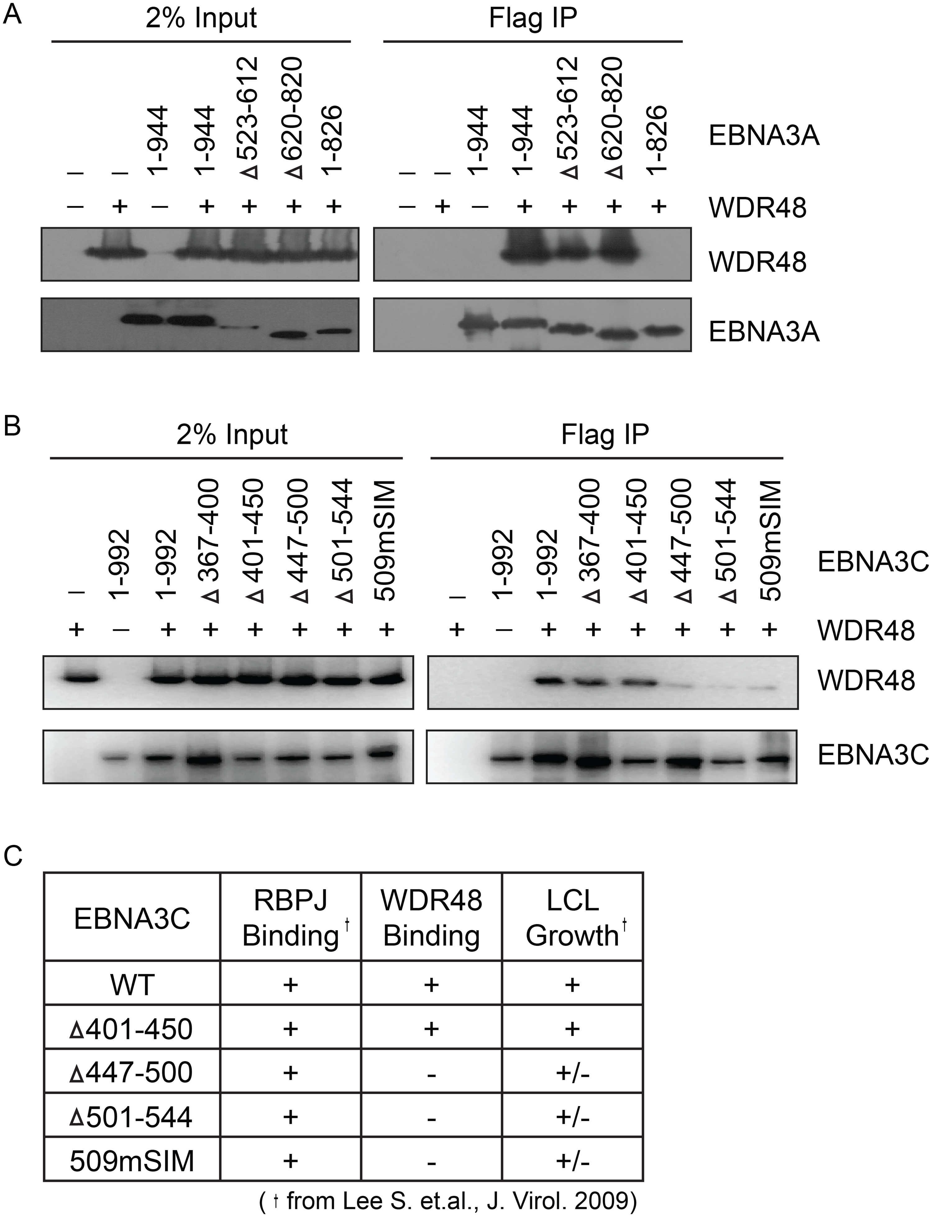Identification of EBNA3A and EBNA3C domains that mediate WDR48 association.