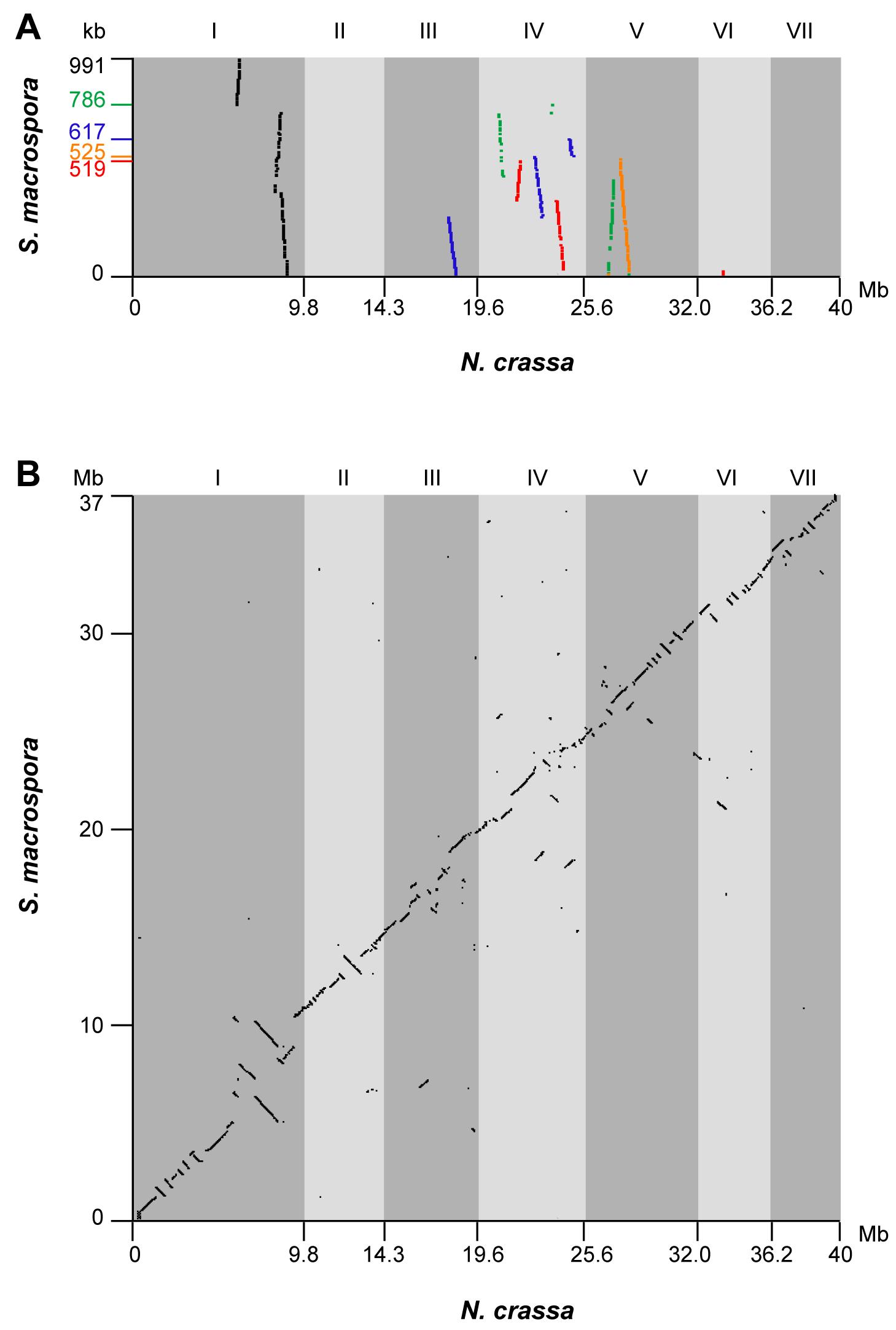 Synteny between the genomes of <i>S. macrospora</i> and <i>N. crassa</i>.