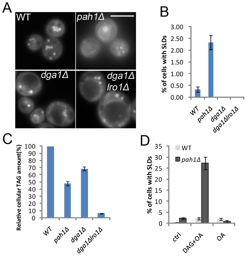 SLD formation in yeast cells deficient in PA phosphatase activity.