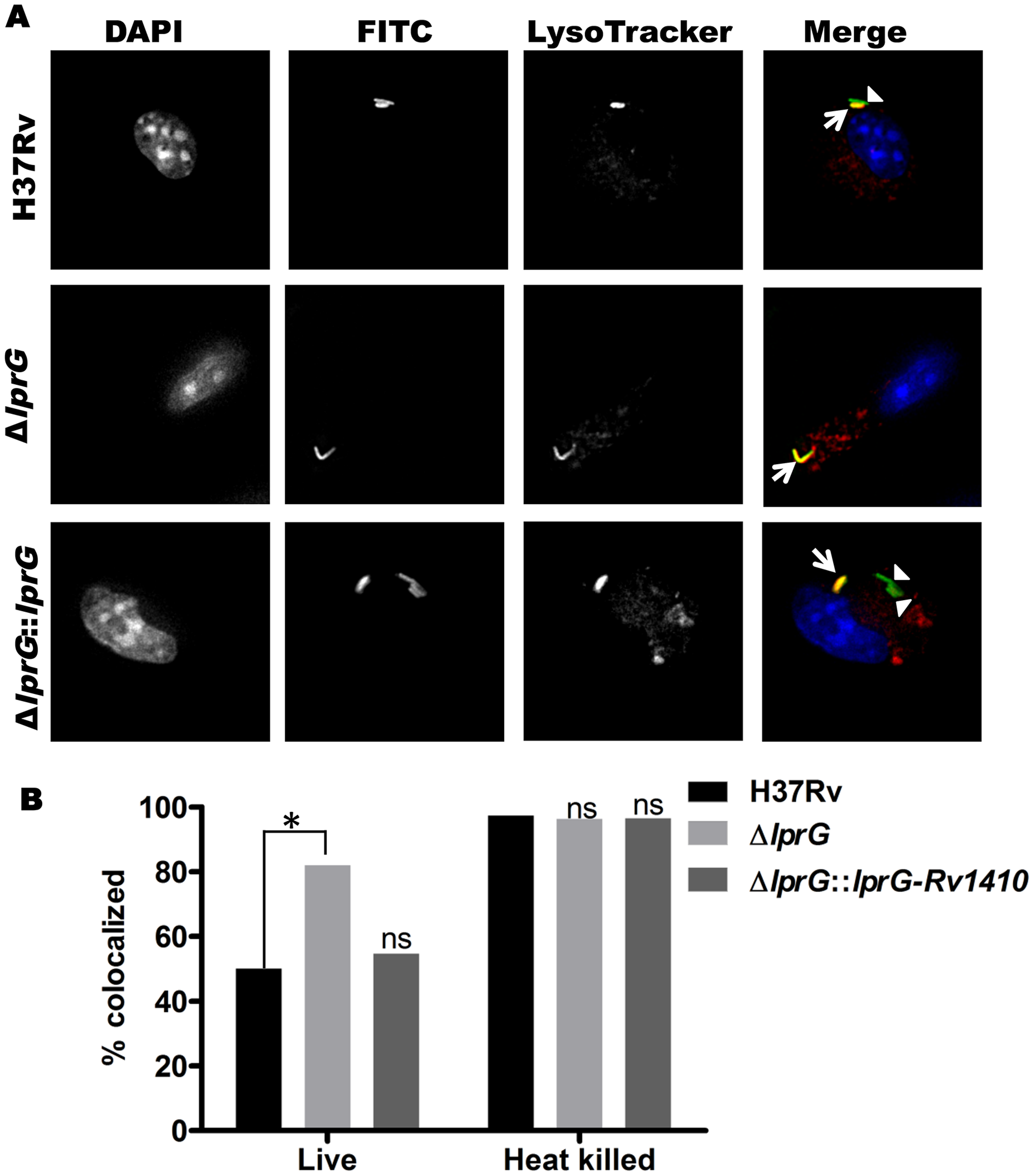 Genetic deletion of LprG reduces the ability of Mtb to inhibit phagosome-lysosome fusion.