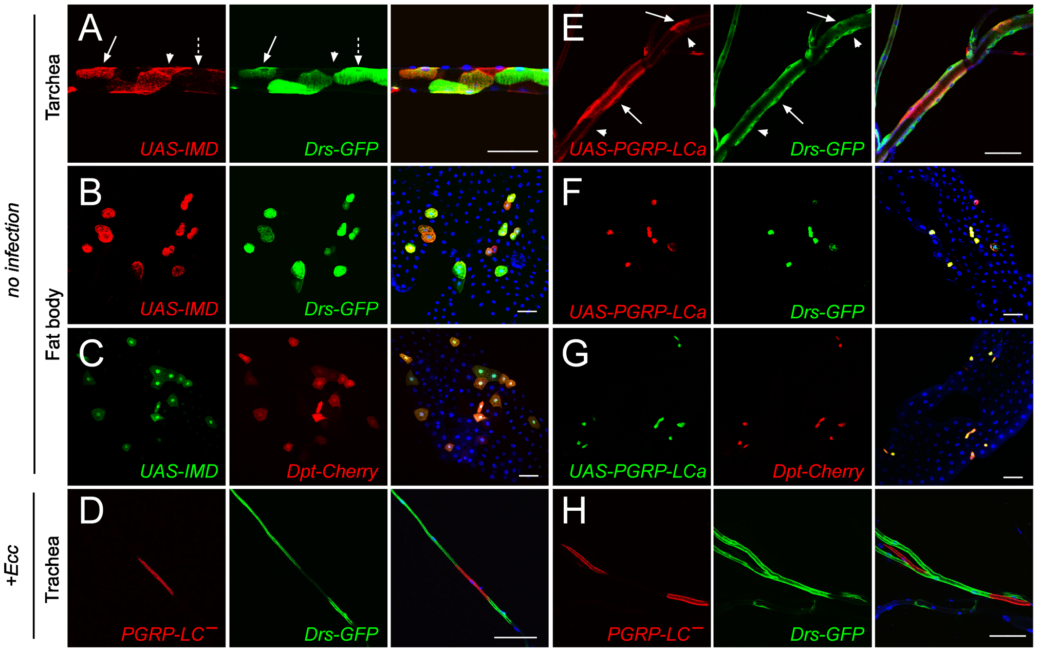 IMD pathway activation is not strictly cell-autonomous in trachea.